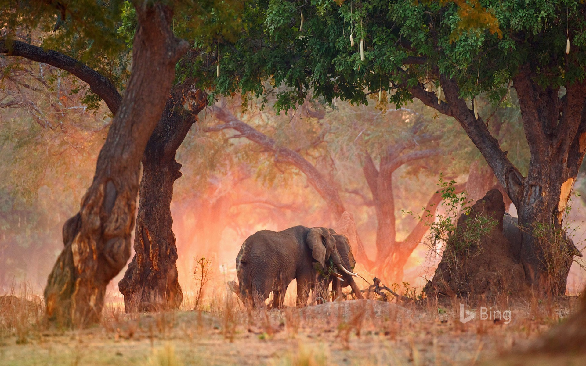 African bush elephants in Mana Pools National Park, Zimbabwe