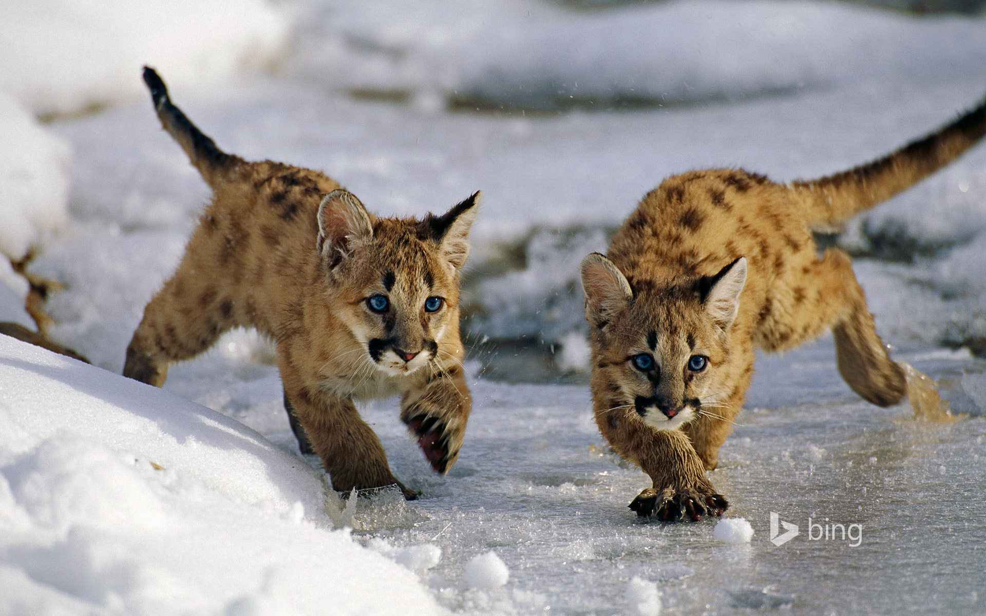 Mountain lion cubs in Utah's Uinta National Forest