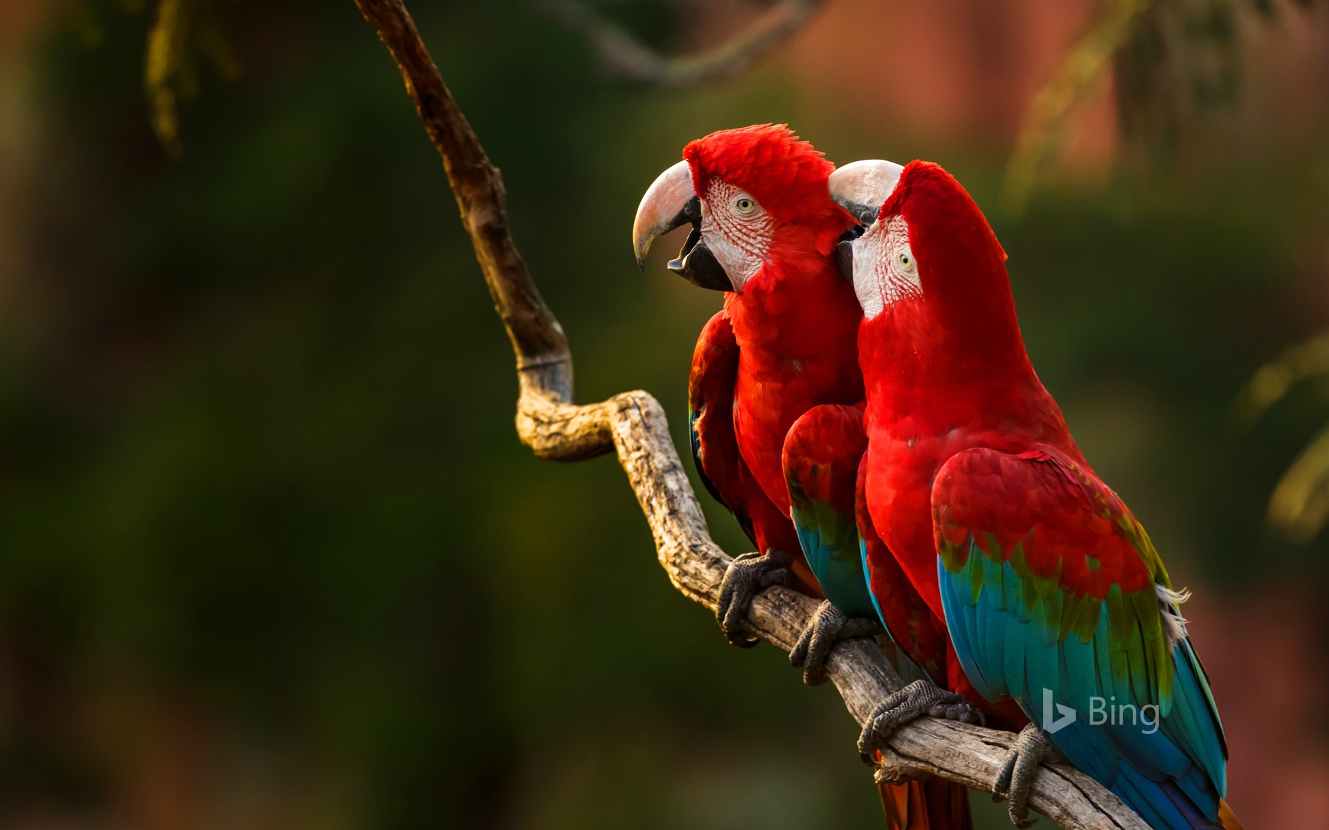 Pair of red-and-green macaws perching on a tree branch, Buraco das Araras, Mato Grosso do Sul, Brazil