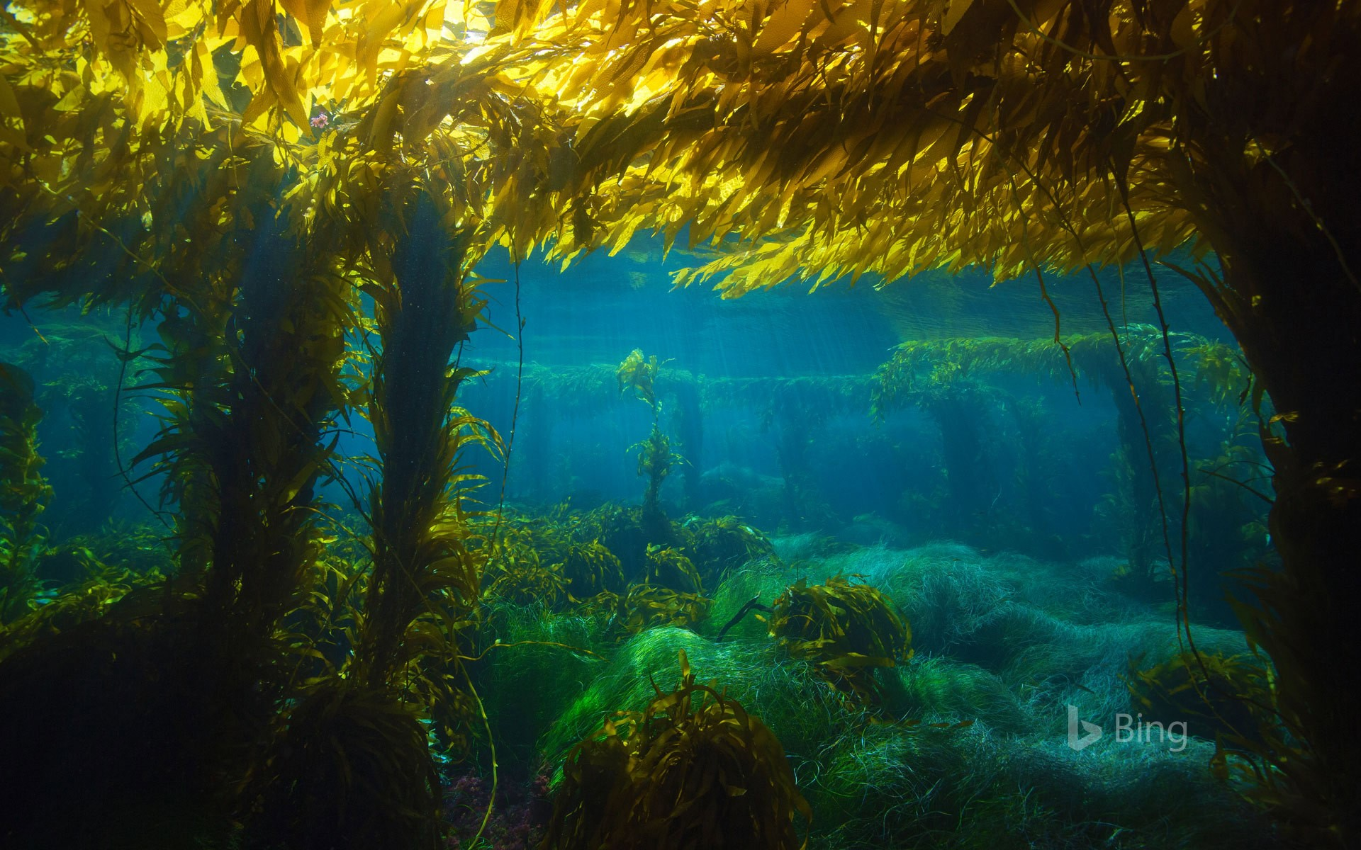Giant kelp forest near San Clemente Island, California