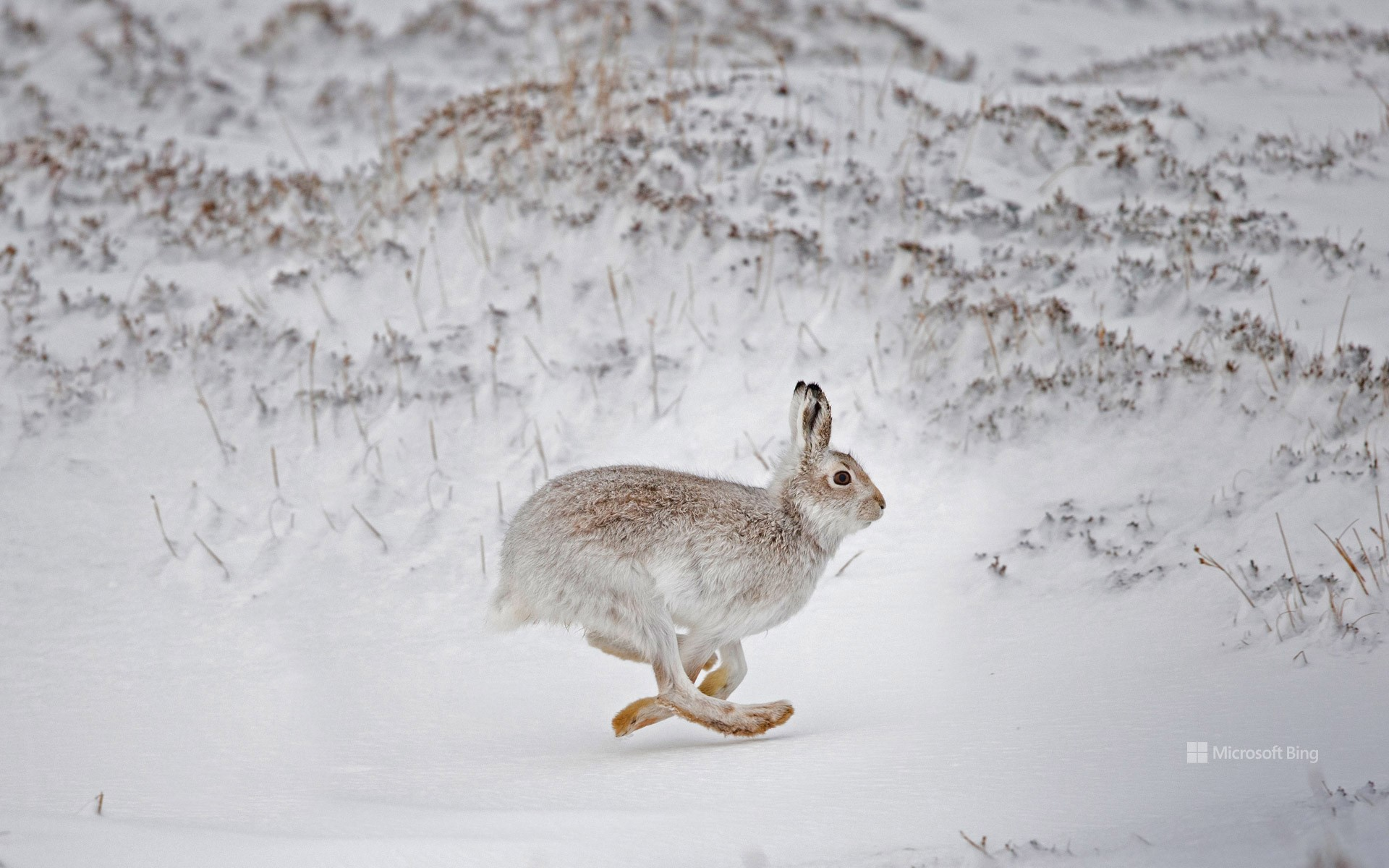 Mountain hare in Scotland