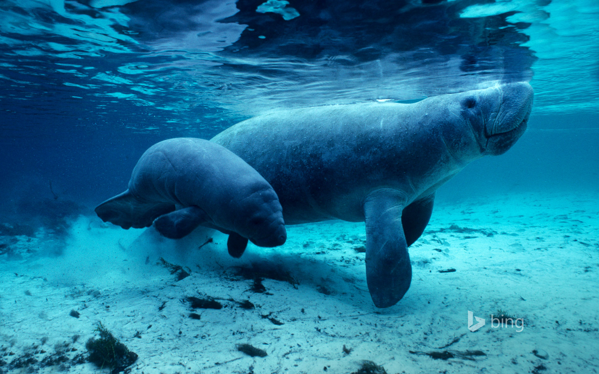 West Indian manatees in the Crystal River, Florida, USA