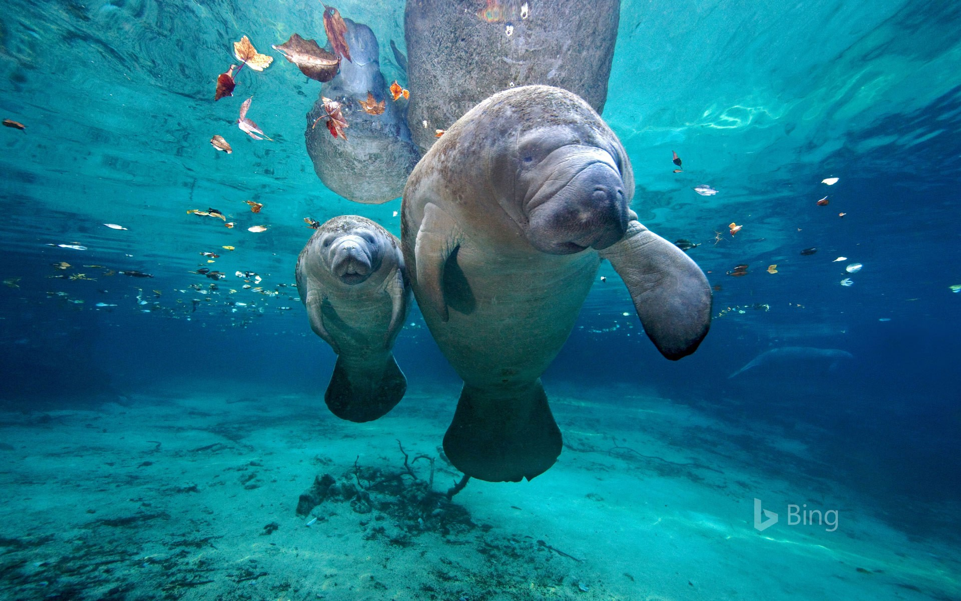 West Indian manatee mom and baby at Three Sisters Springs, Florida