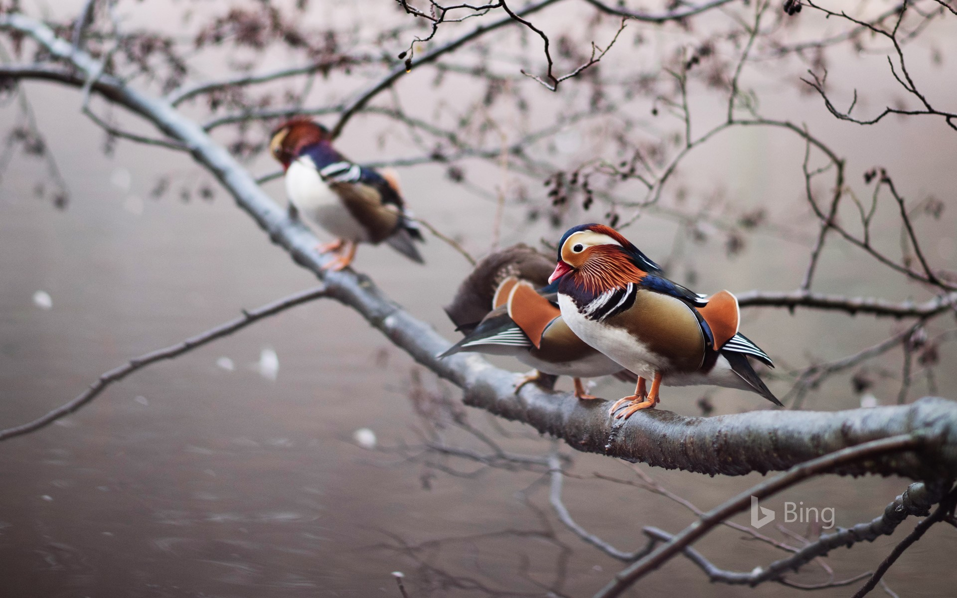 Mandarin ducks perched on a branch