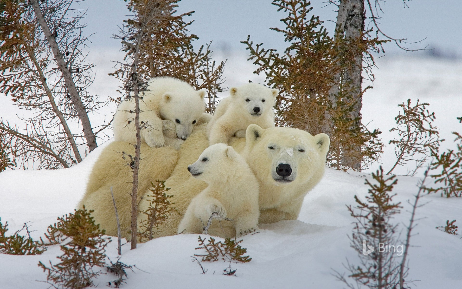 Mother polar bear and cubs in Manitoba's Wapusk National Park, Canada