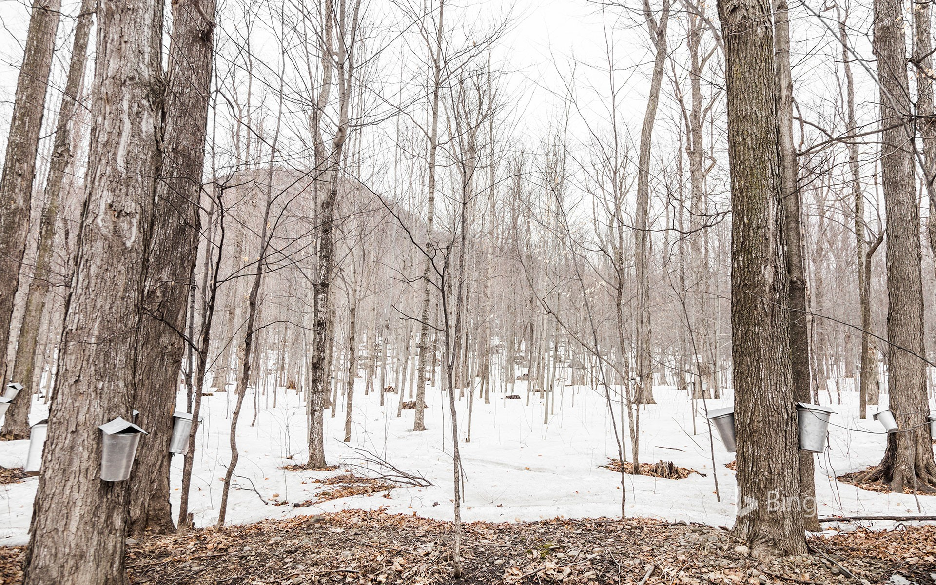 Sap buckets hanging on maple trees in a forest, Quebec