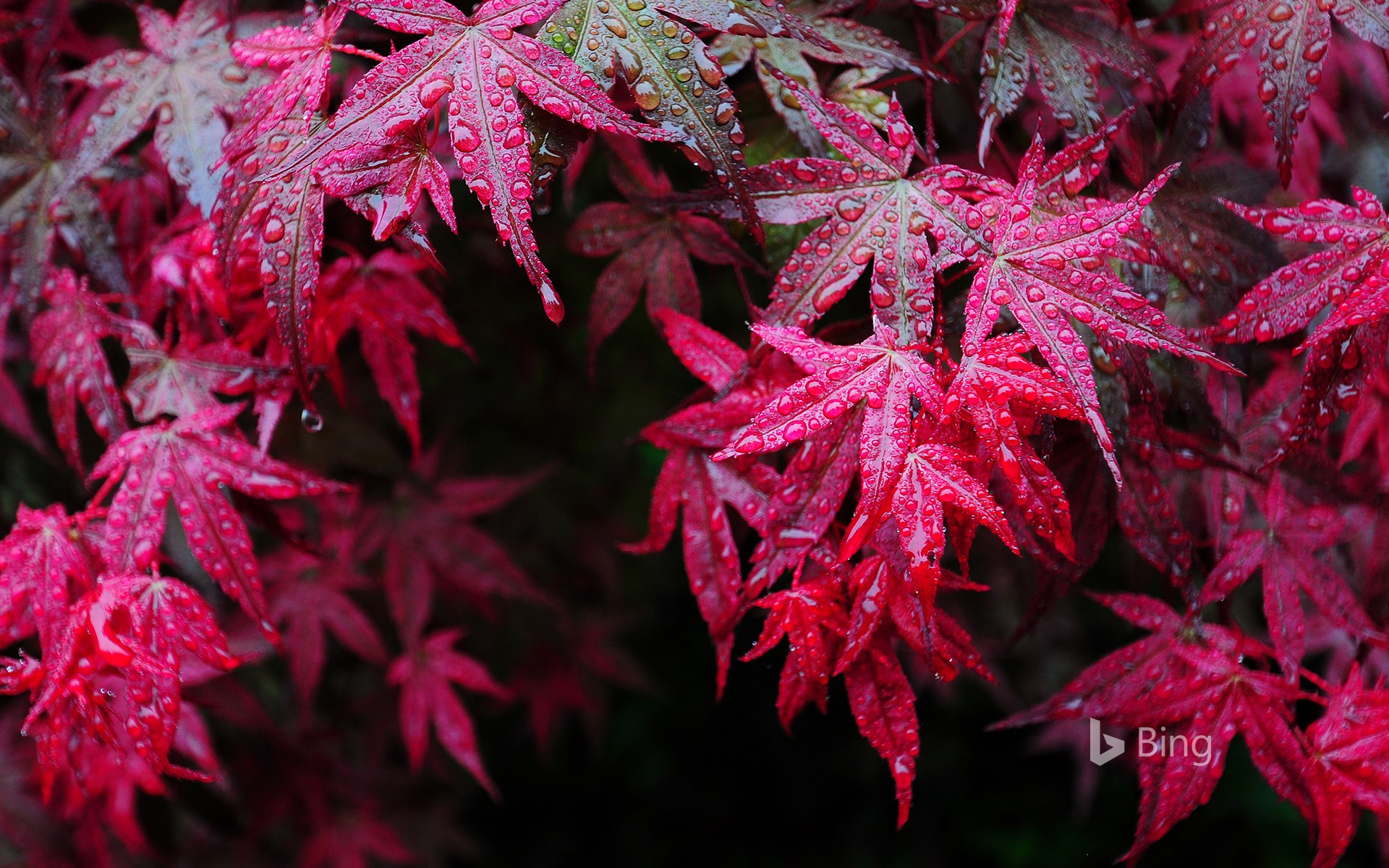 Maple leaves with dewdrops