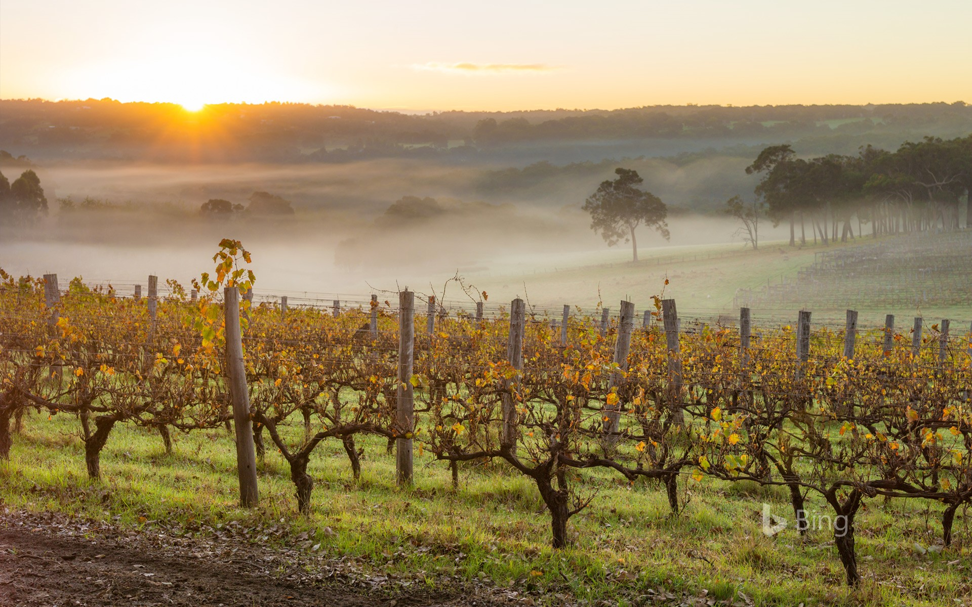 Dawn in the vineyards near Margaret River, Australia