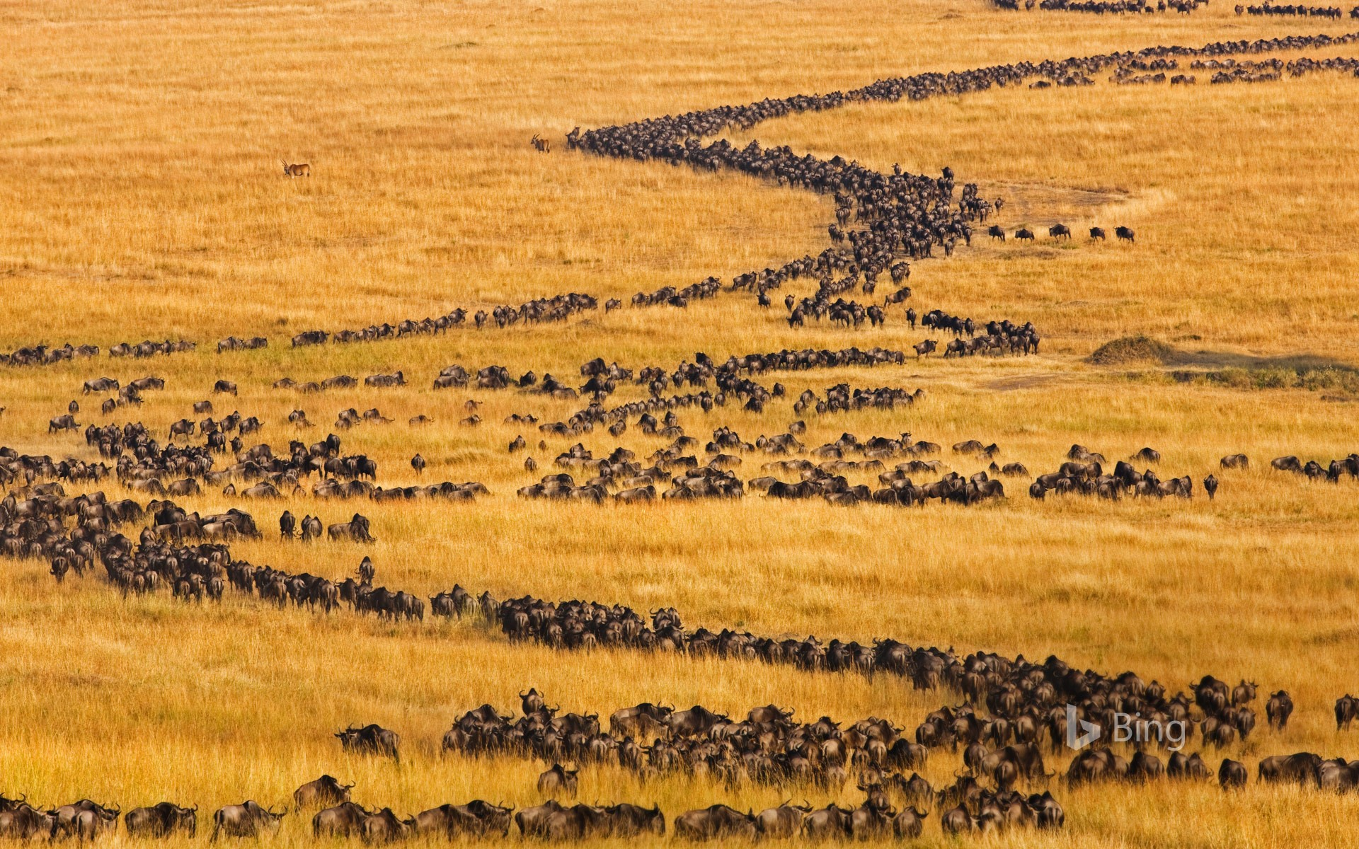 Blue wildebeests on the move for their annual migration in Maasai Mara, Kenya