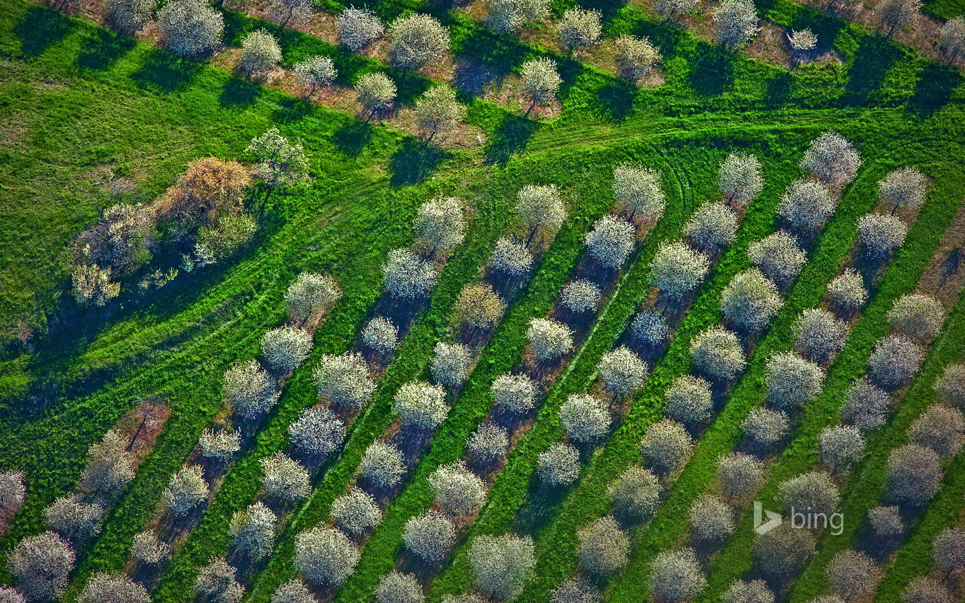 Cherry orchards bloom in Mason County, Michigan