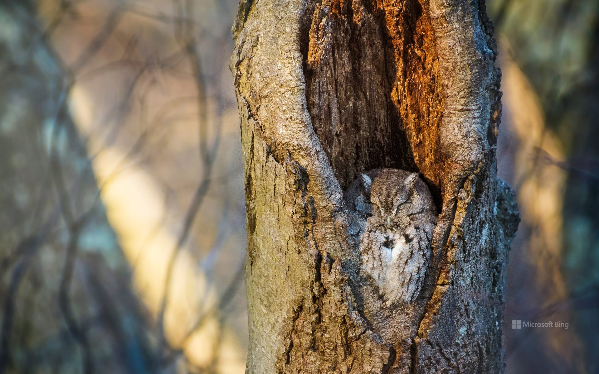 Screech owl resting in a tree cavity, Massapequa Preserve, Long Island, New York, USA