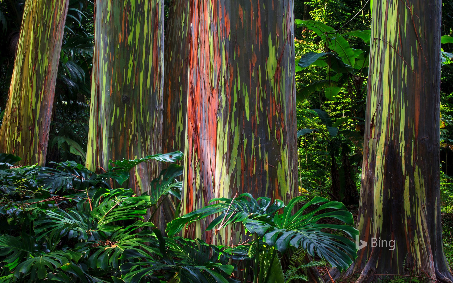 Rainbow eucalyptus trees along the Hana Highway, Maui
