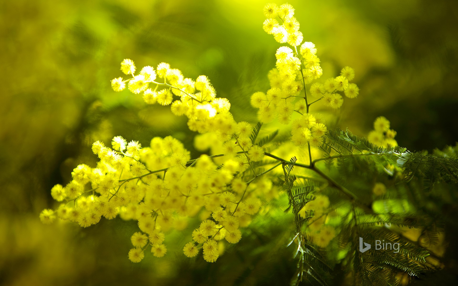 Mimosa flowers on the Tanneron Massive, France