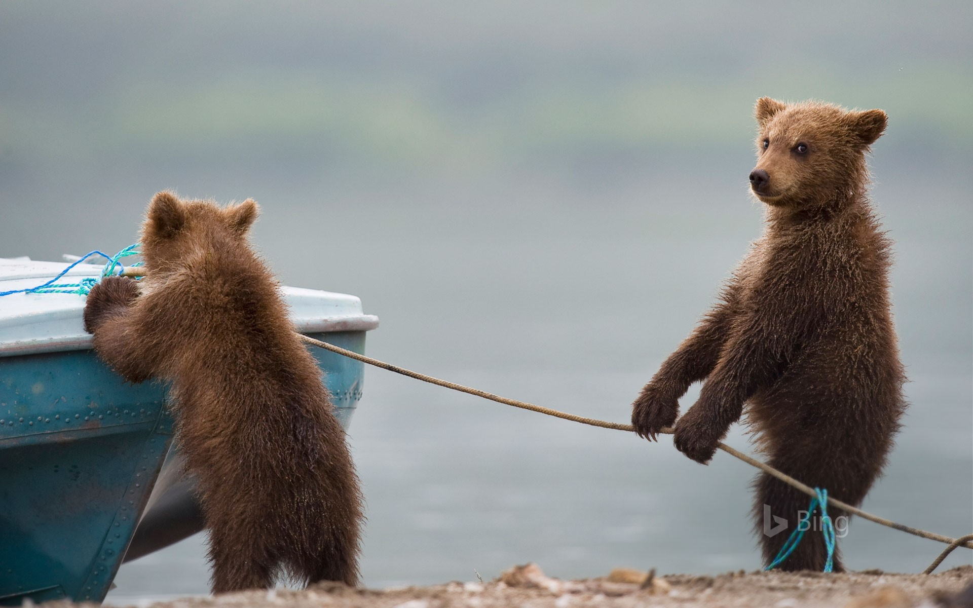 Bear cubs playing by a lake (© Sergey Ivanov/Getty)