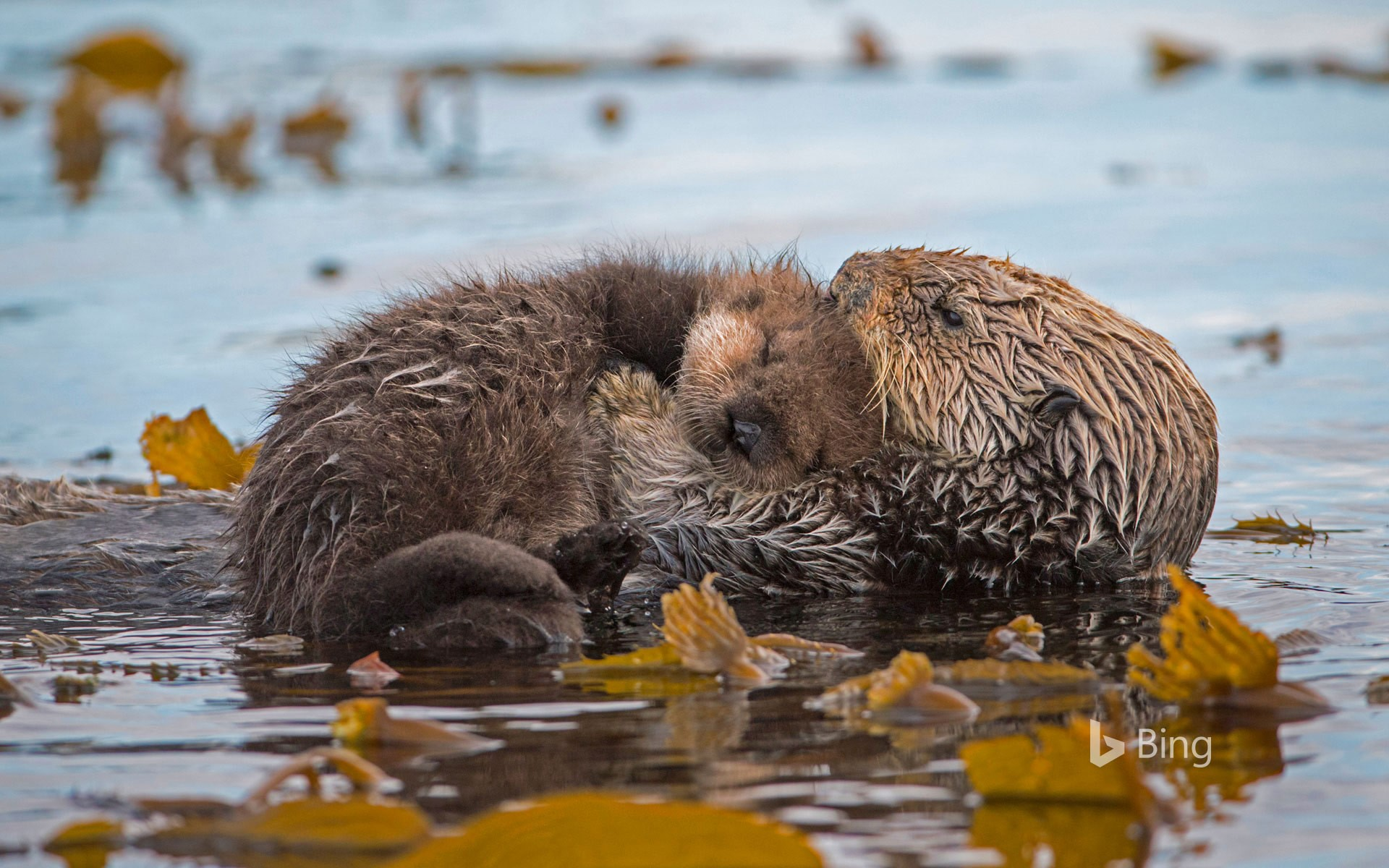 Sea otter mother and newborn pup in Monterey Bay, California
