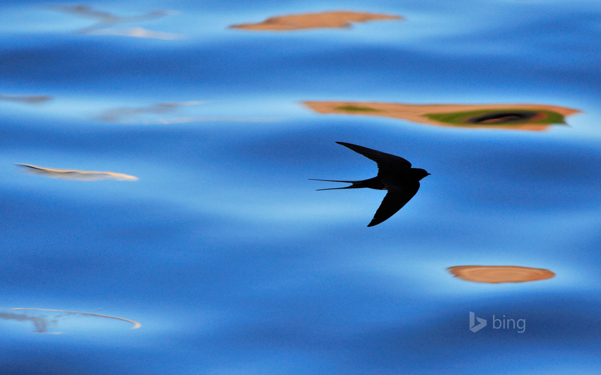 Silhouette of barn swallow in Berwickshire, Scotland