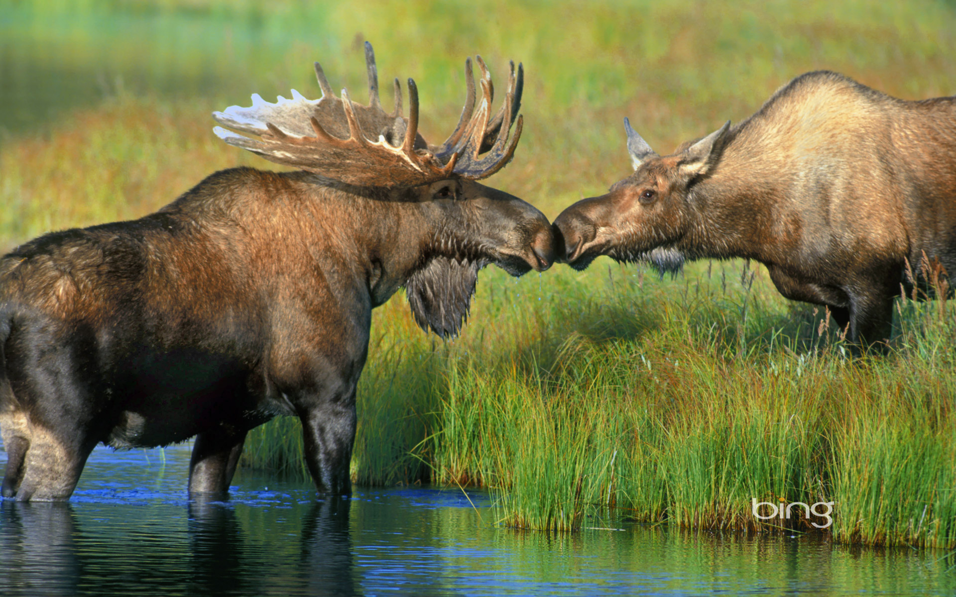 Pair of moose at Wonder Lake in Denali National Park, Alaska