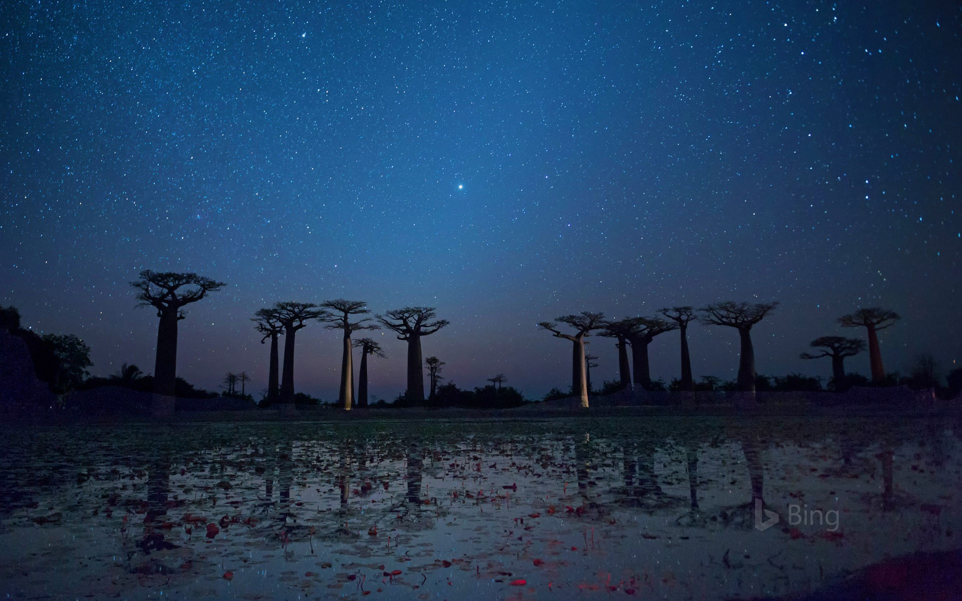 Baobab trees reflected on the Avenue of the Baobabs in the Menabe region of Madagascar