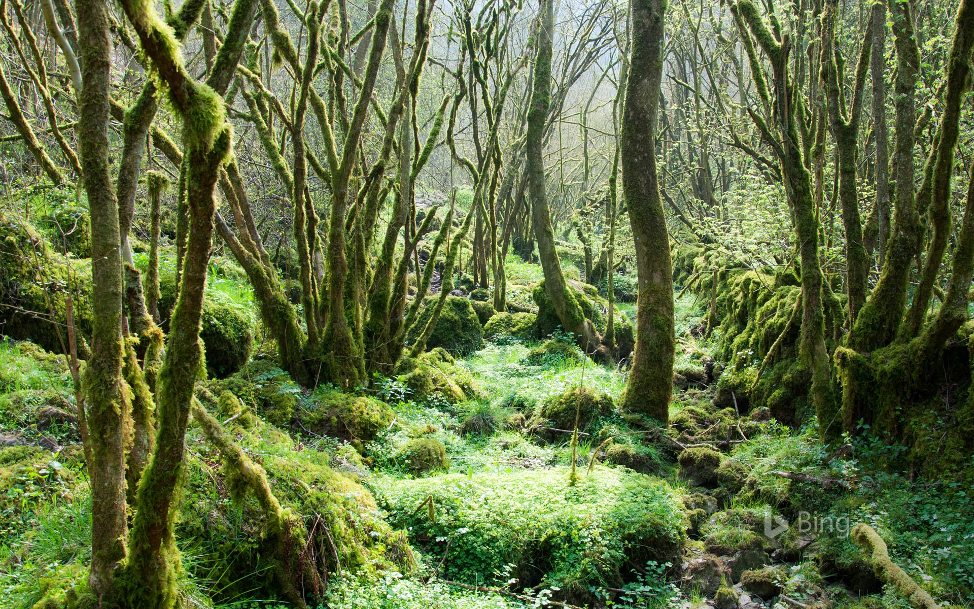 Trees covered in moss at Monk's Dale in the Peak District, Derbyshire