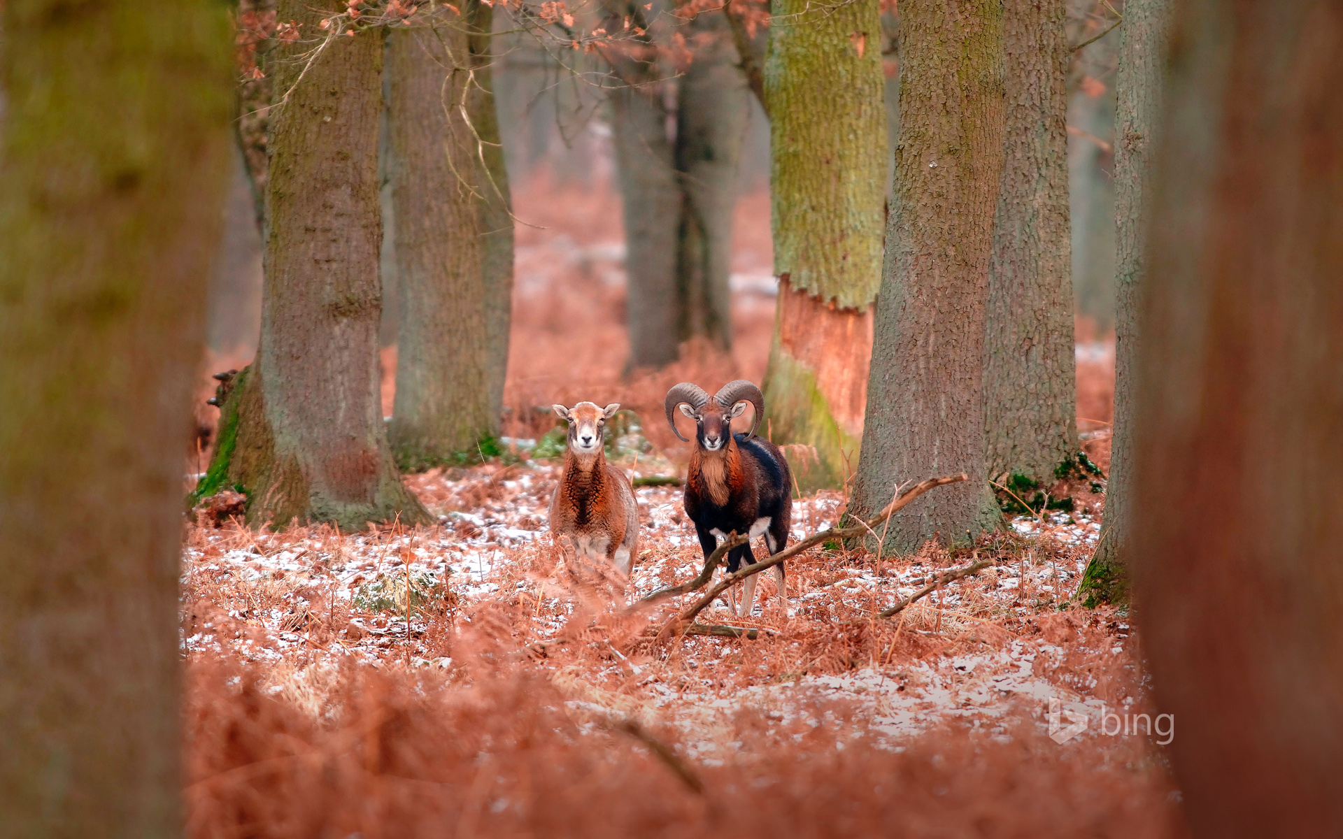 Mouflons in the forest in winter