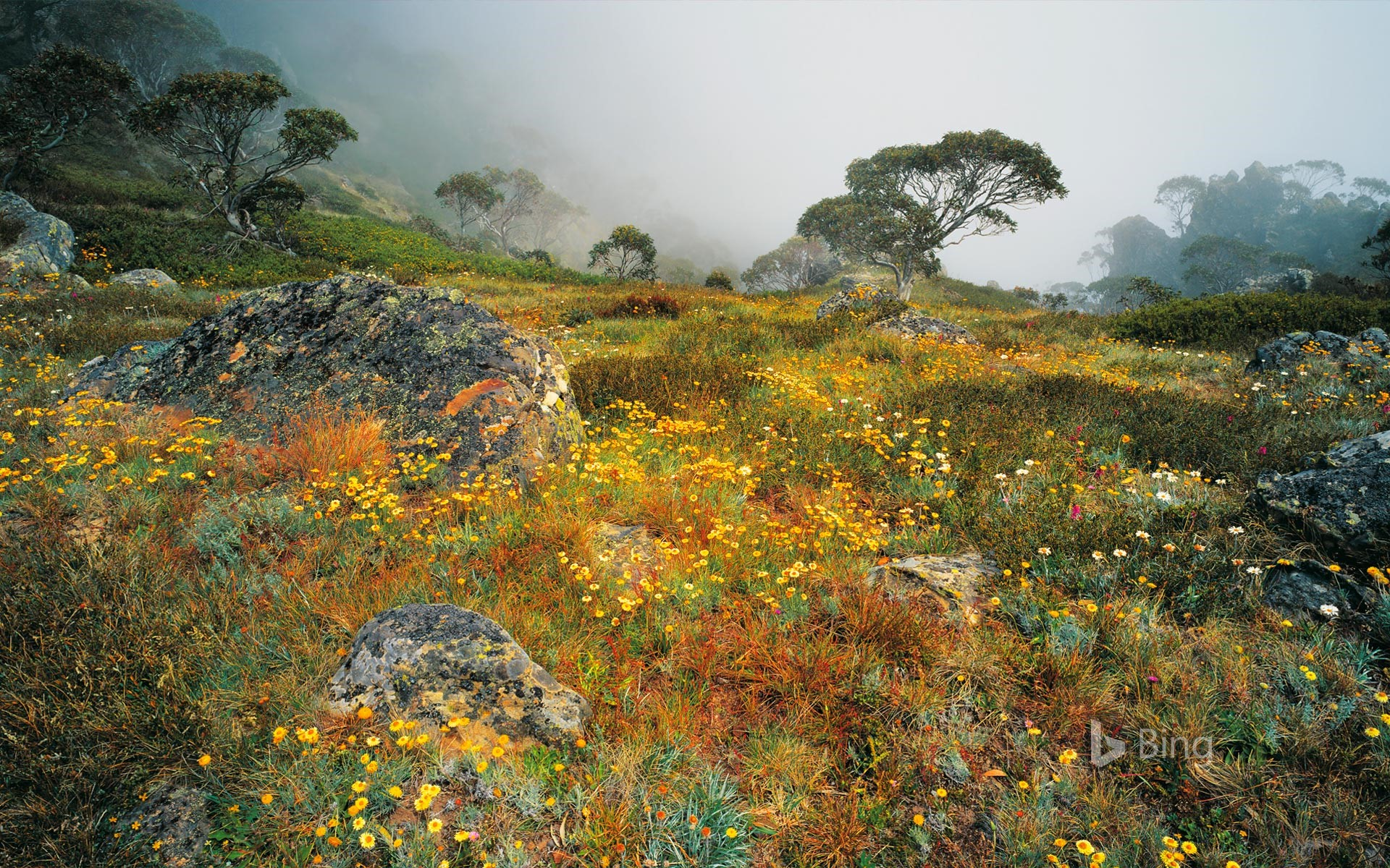 Wildflowers in the mist on Mount Howitt in Alpine National Park, Victoria, Australia