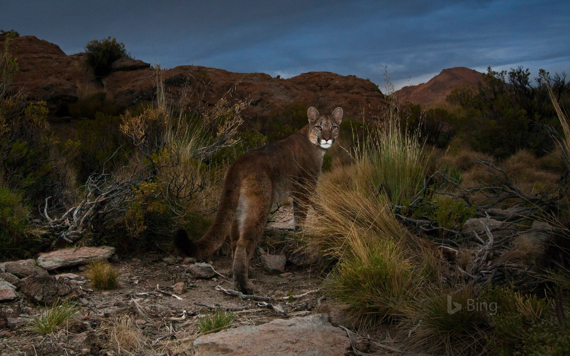 Cougar in the Andes of northwestern Argentina