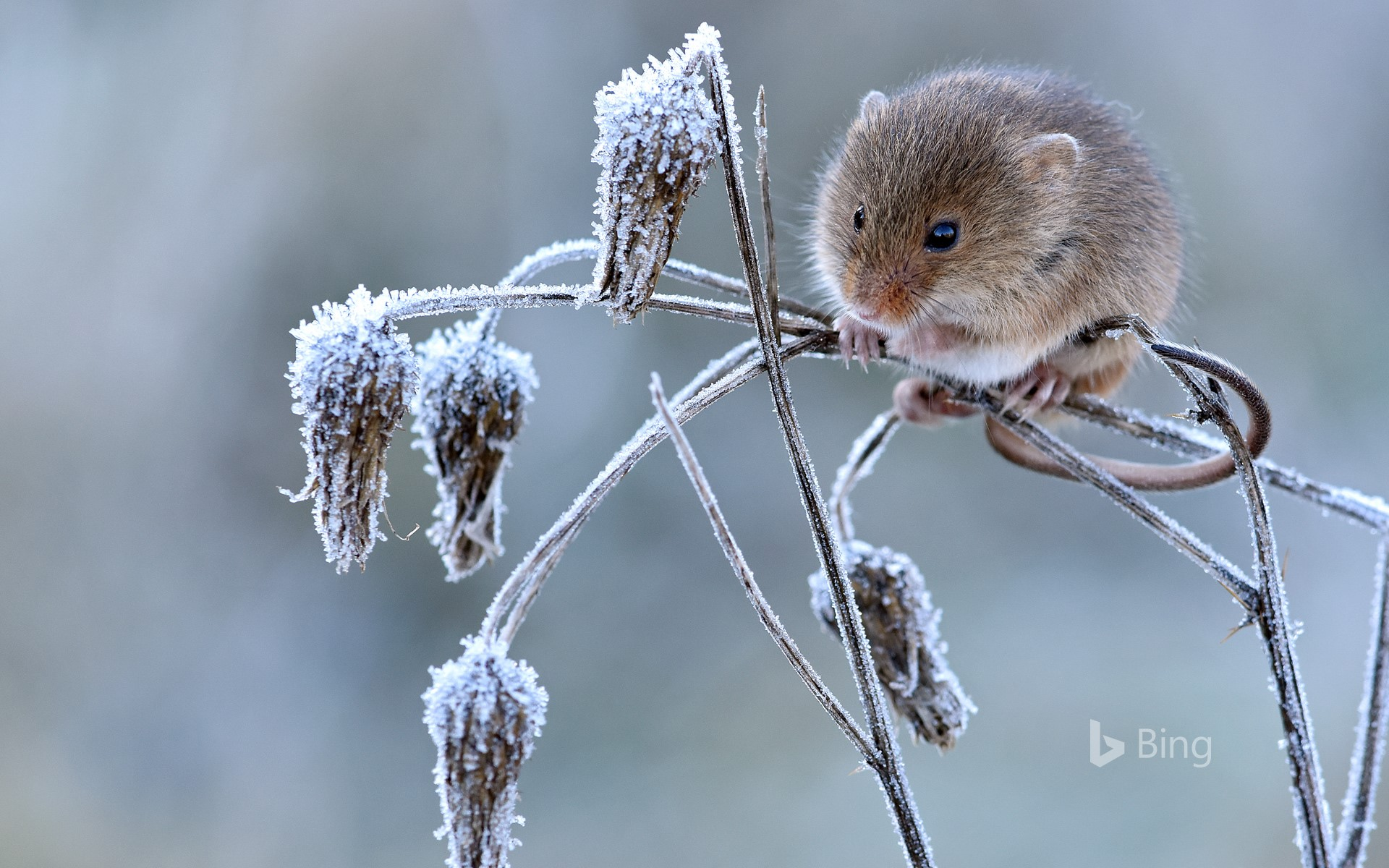 Harvest mouse climbing on frosty seedhead, Hertfordshire