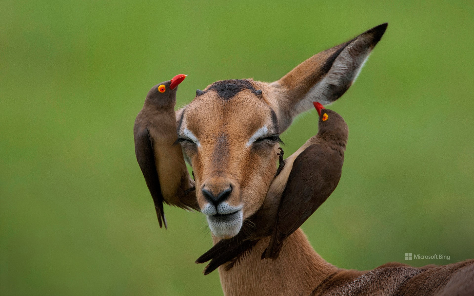 Red-billed oxpeckers on an impala, Mpumalanga, South Africa