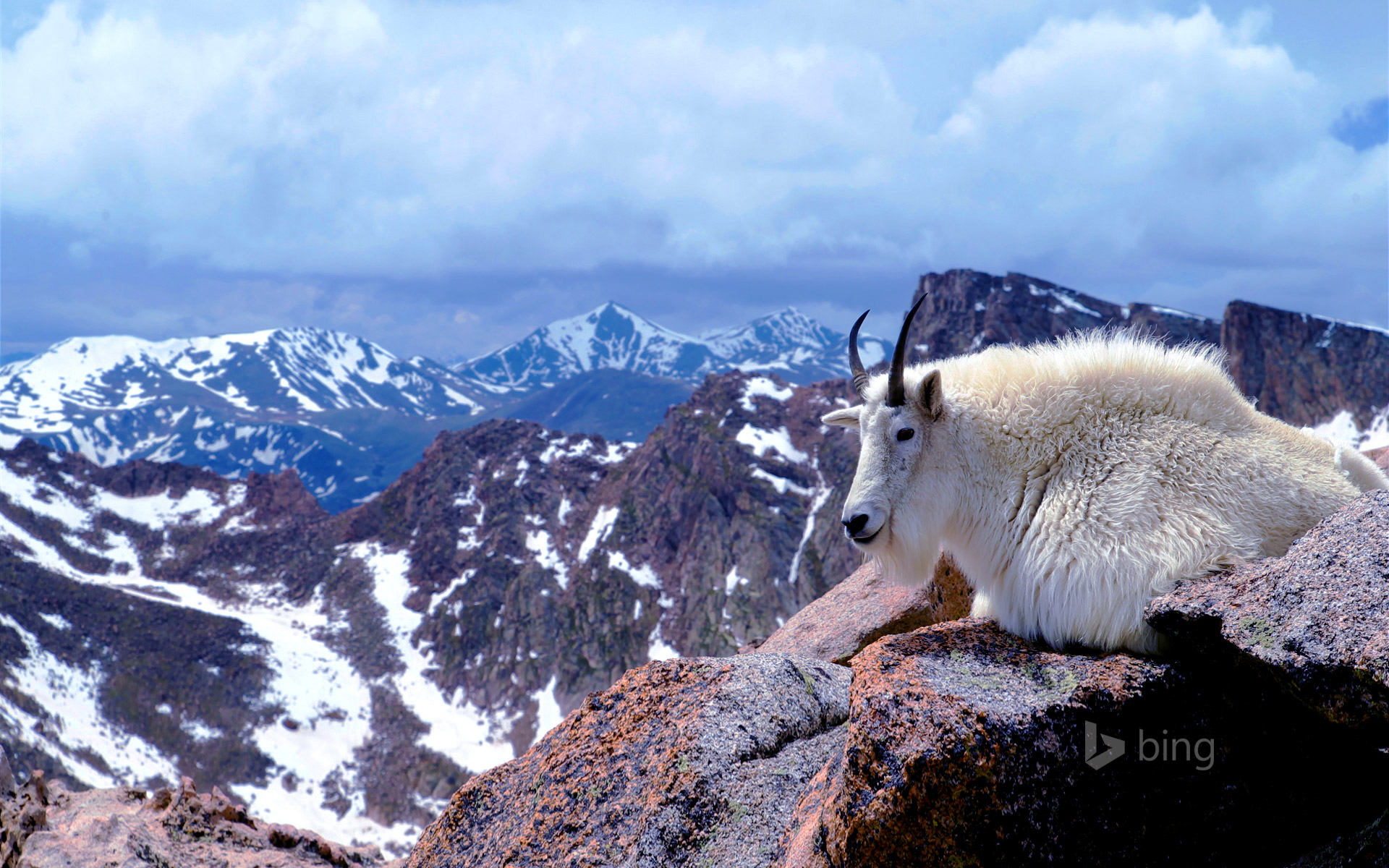 Mountain goat on Mount Evans, near Denver, Colorado