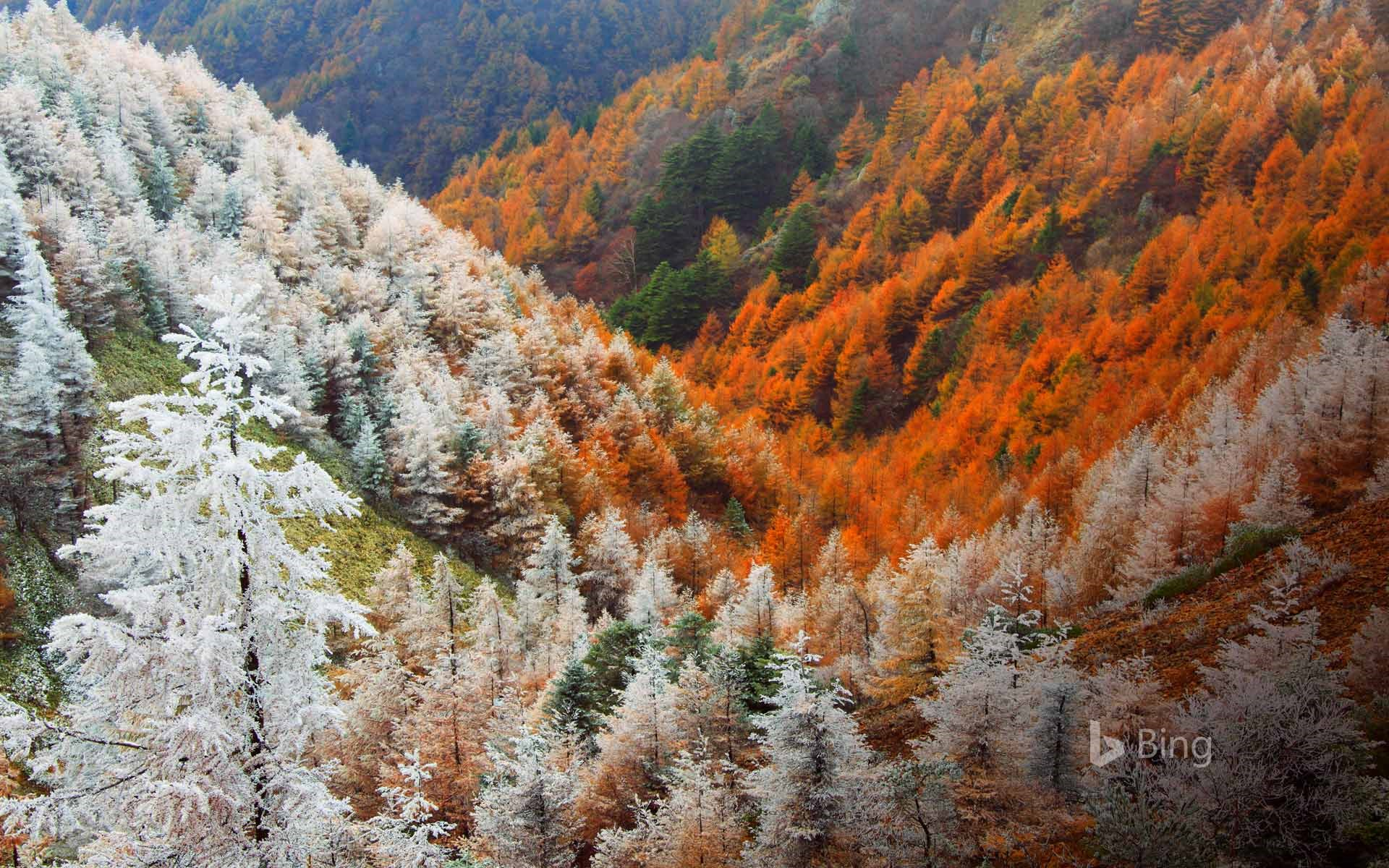 Larch forest near Matsumoto, Japan
