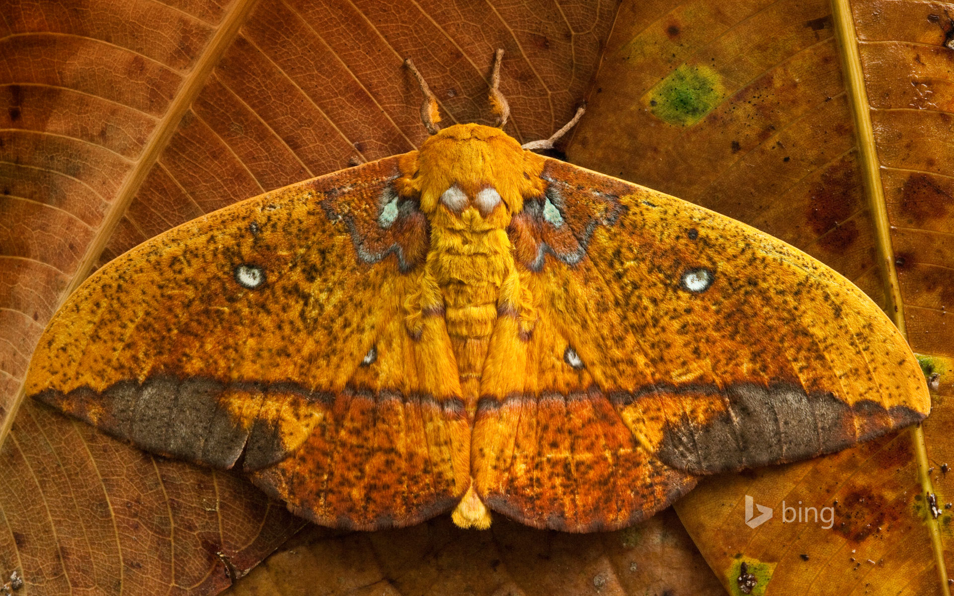 Saturniid moth, Yasuni National Park, Ecuador