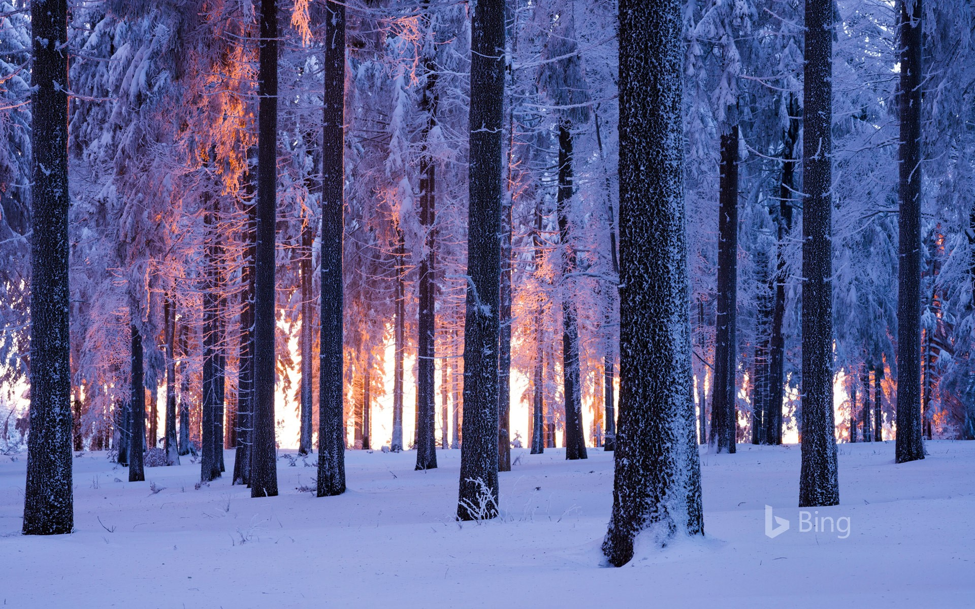 Snowy Norway spruce forest at sunset, Thuringia, Germany