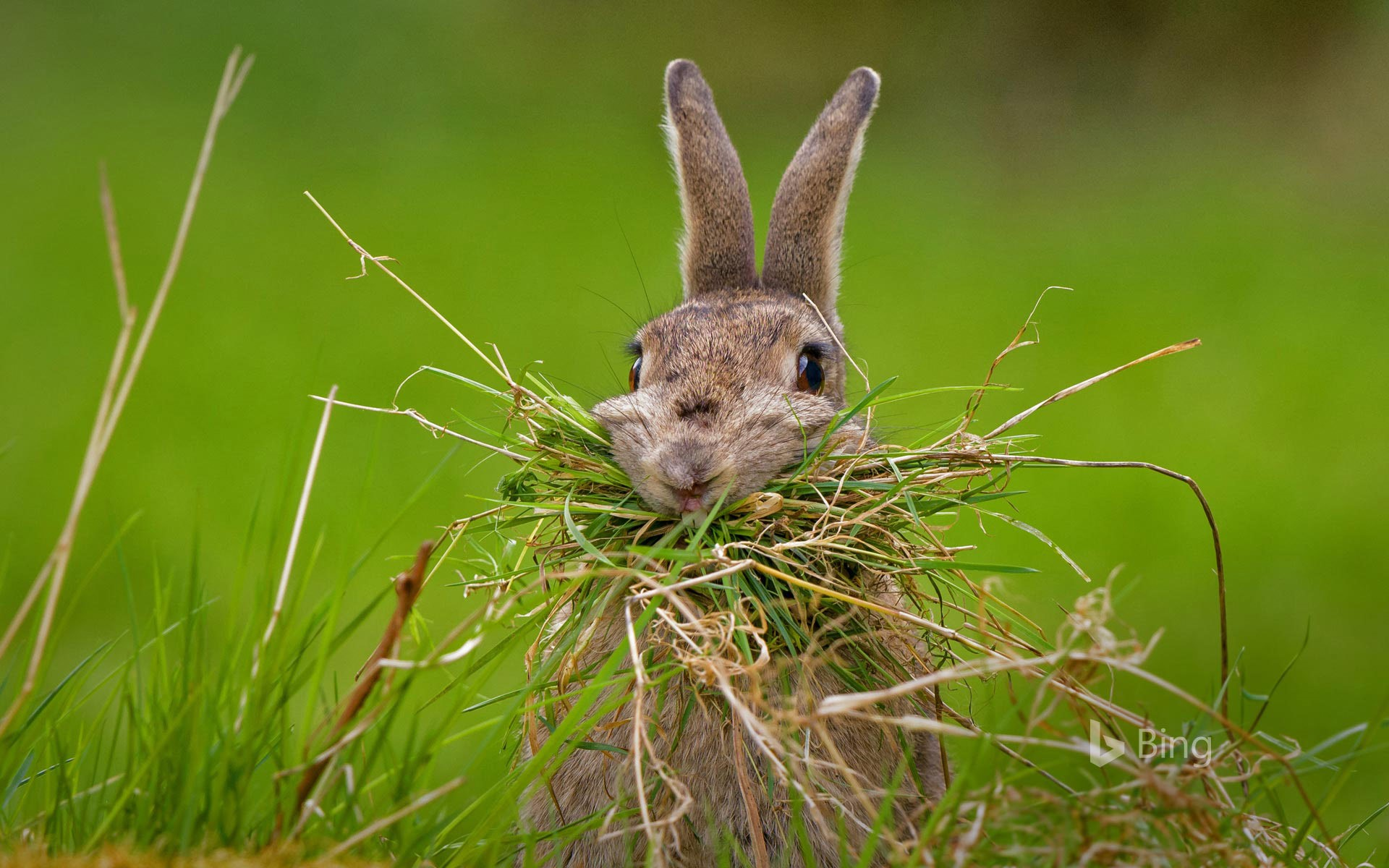 A rabbit building a nest