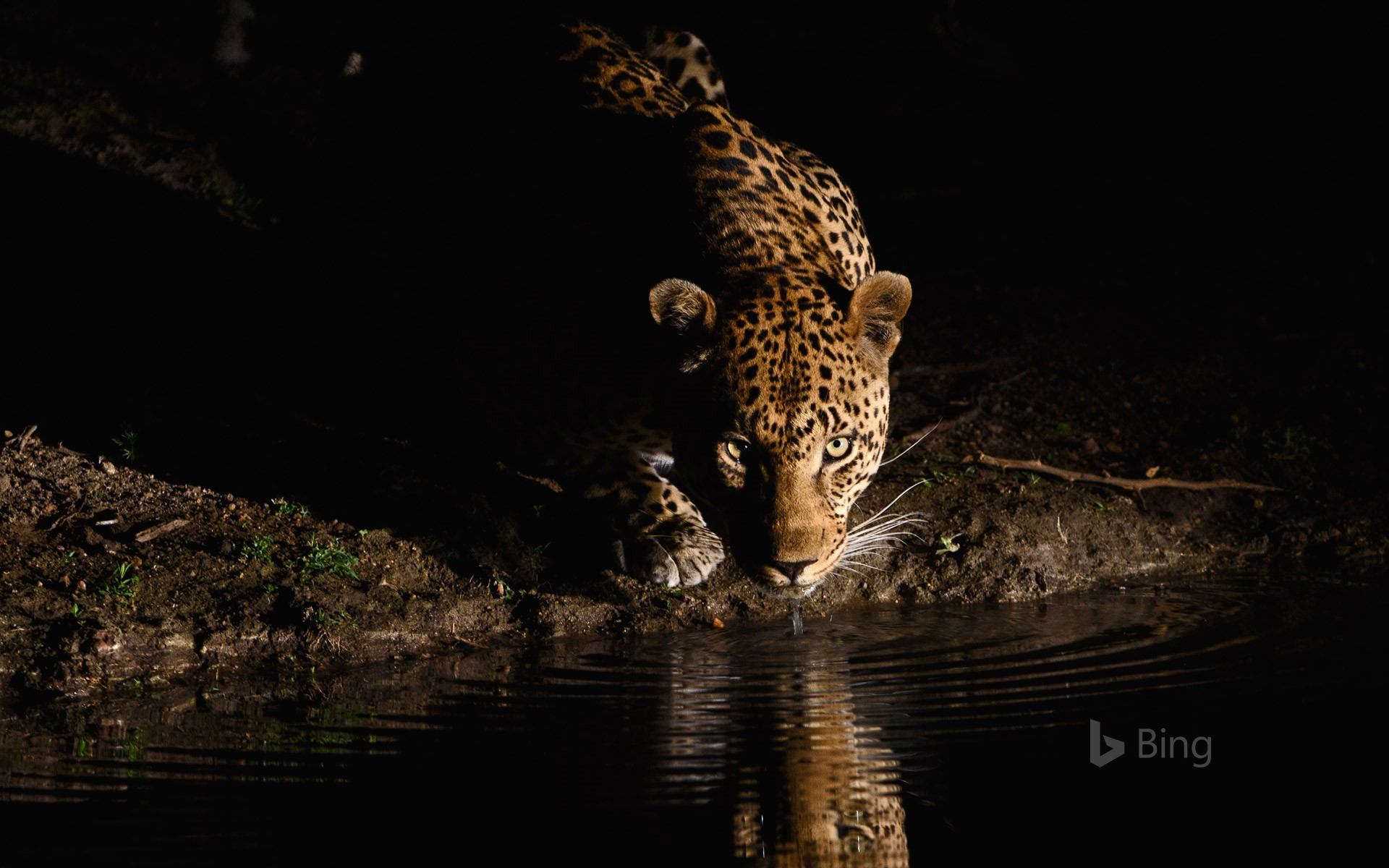An African leopard in the Londolozi Private Game Reserve, South Africa