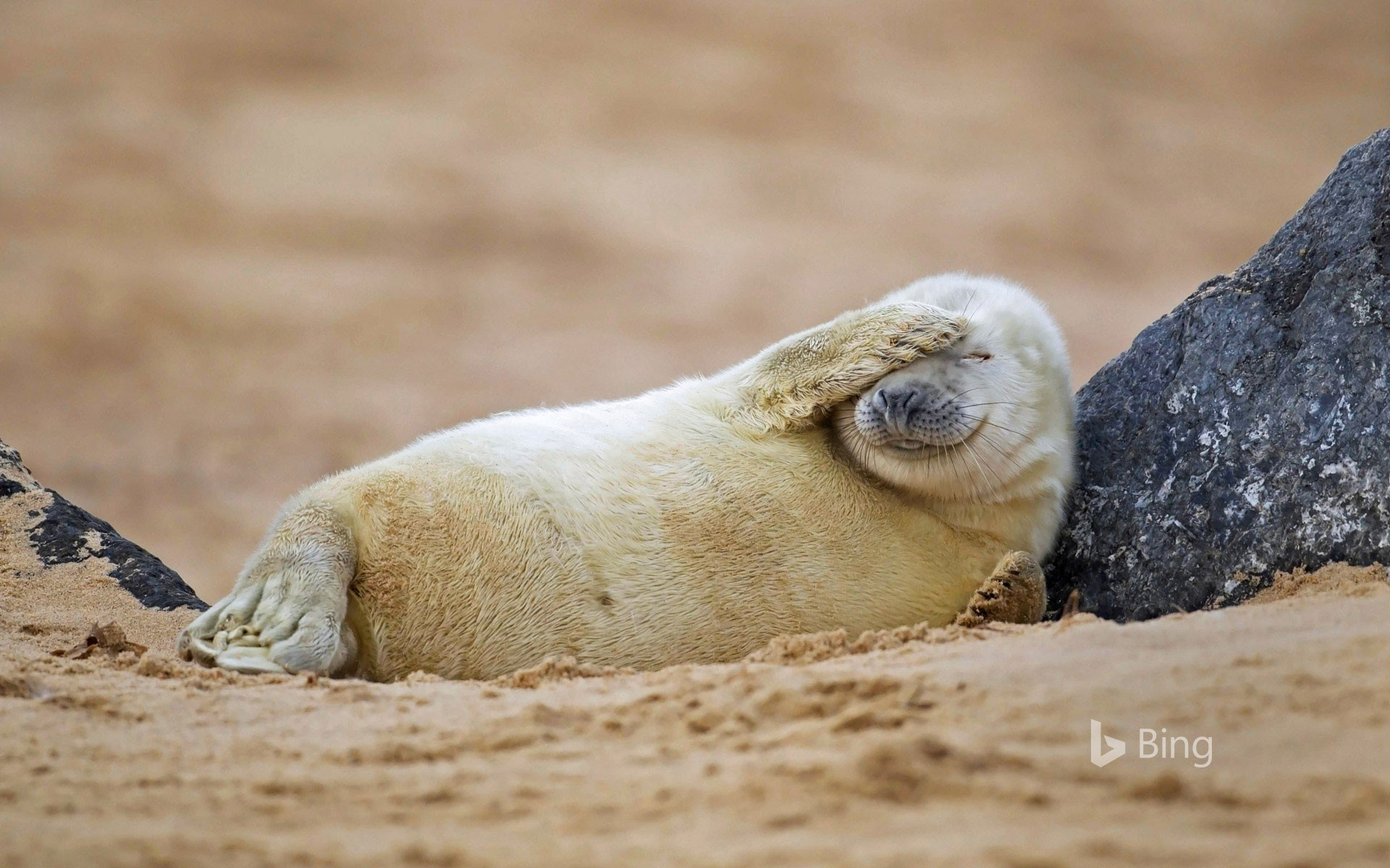 Gray seal pup resting on a beach in Blakeney National Nature Reserve, England