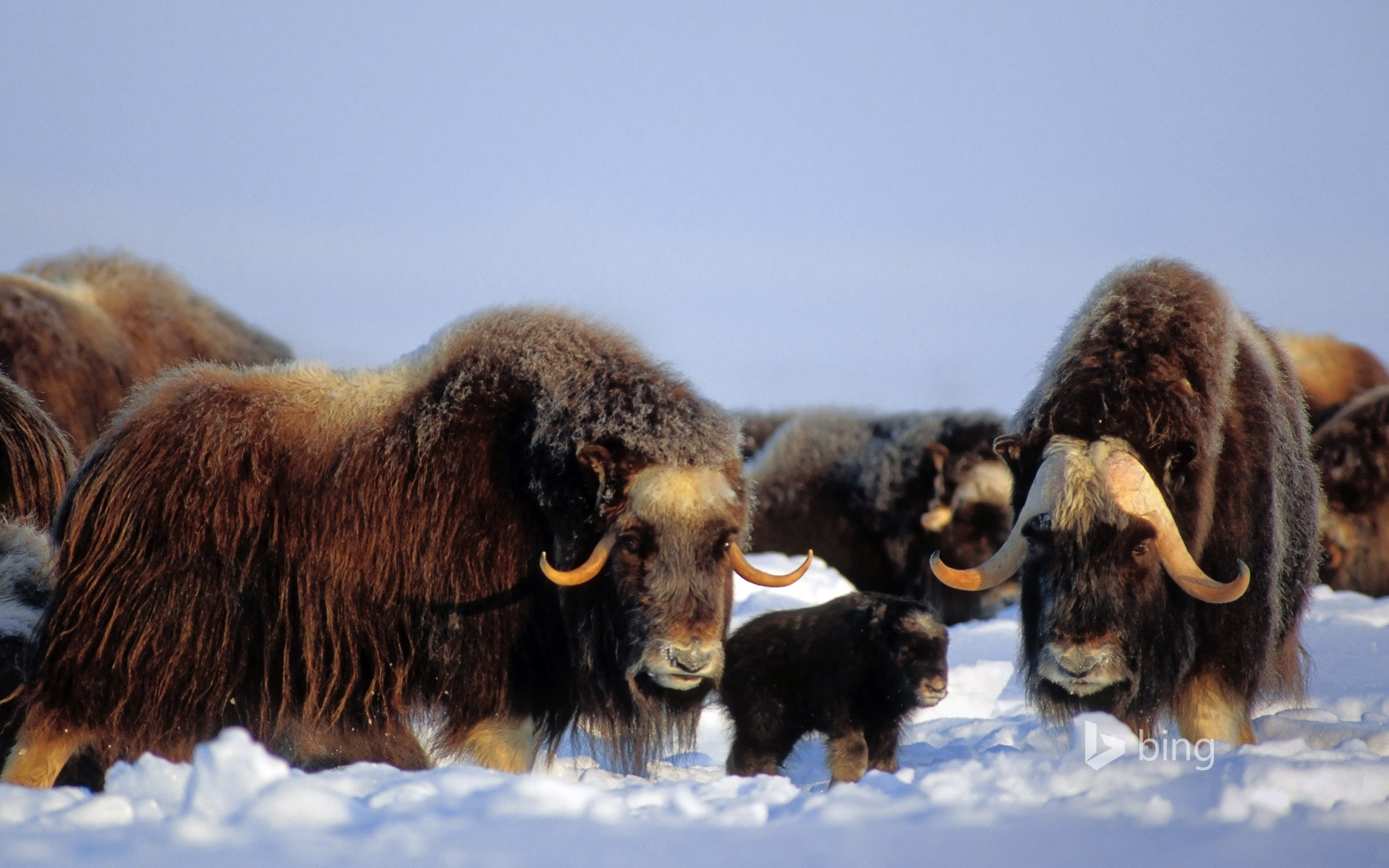 Muskox in the Brooks Range, Alaska, USA