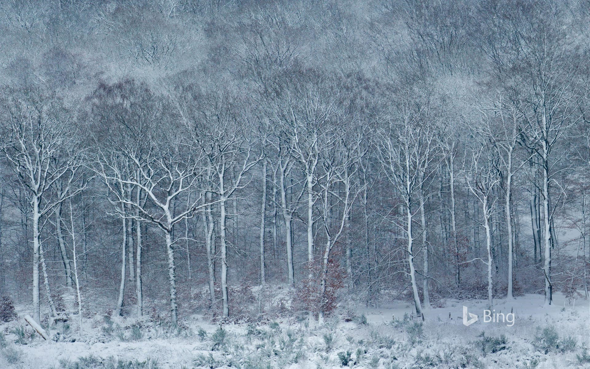 Beech forest covered with frost and snow, Ardennes, Belgium
