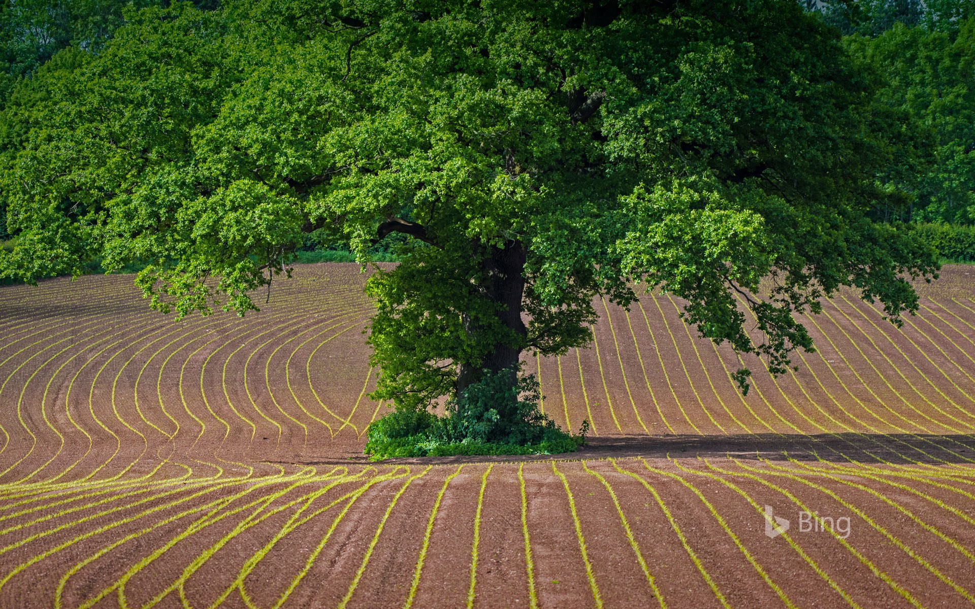 English oak tree in a cultivated field in Monmouthshire, Wales