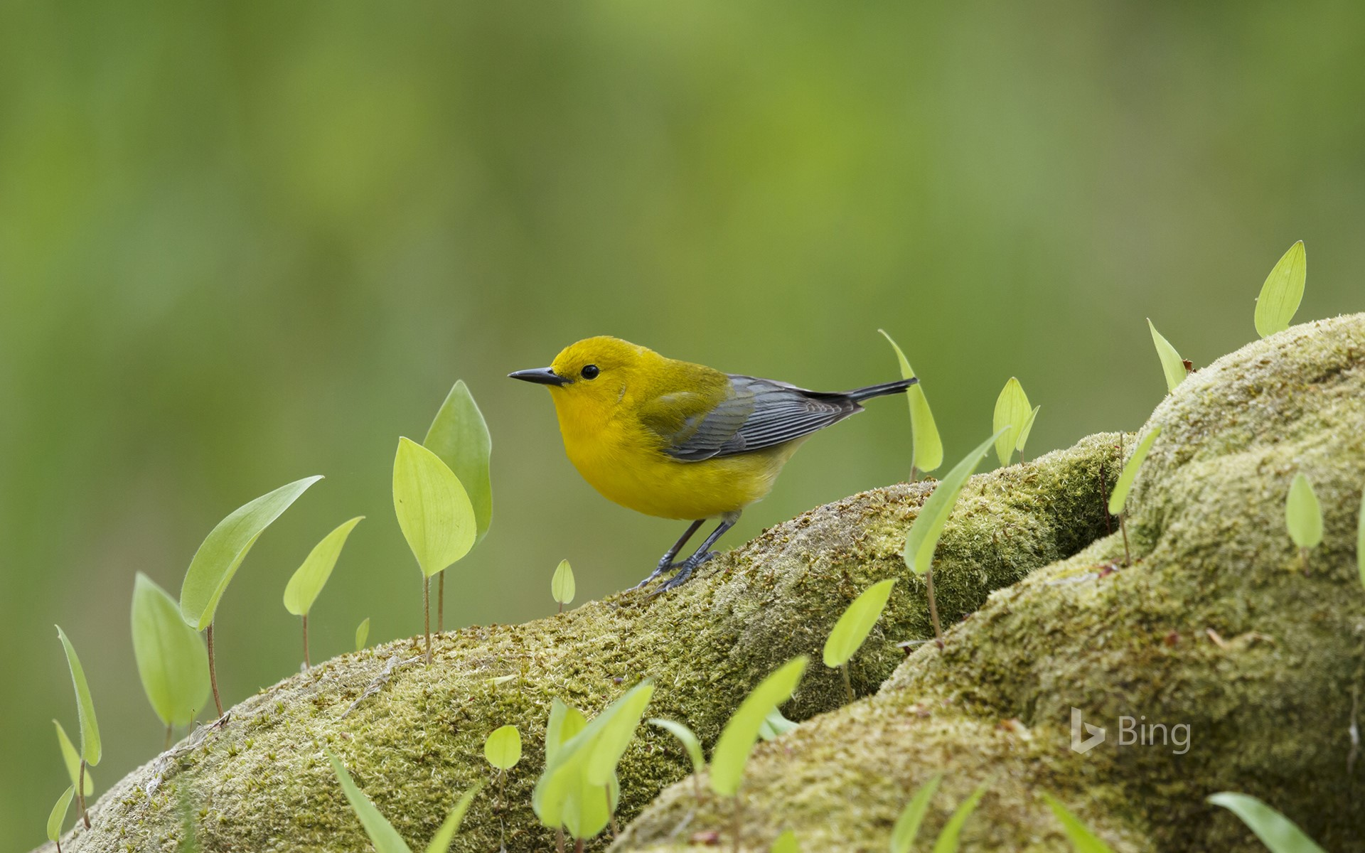 Prothonotary warbler in Ontario, Canada (© Bill Coster/Minden Pictures)
