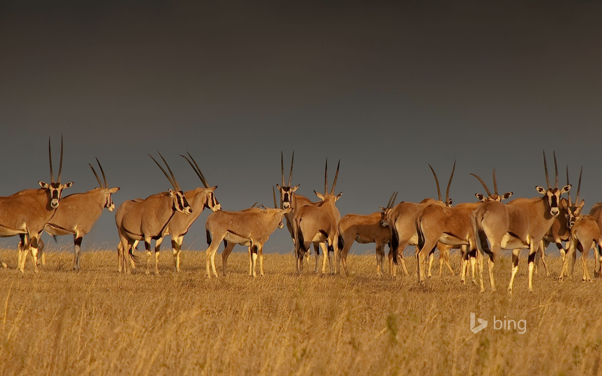 East African oryx herd, Solio Game Reserve in Kenya's Great Rift Valley