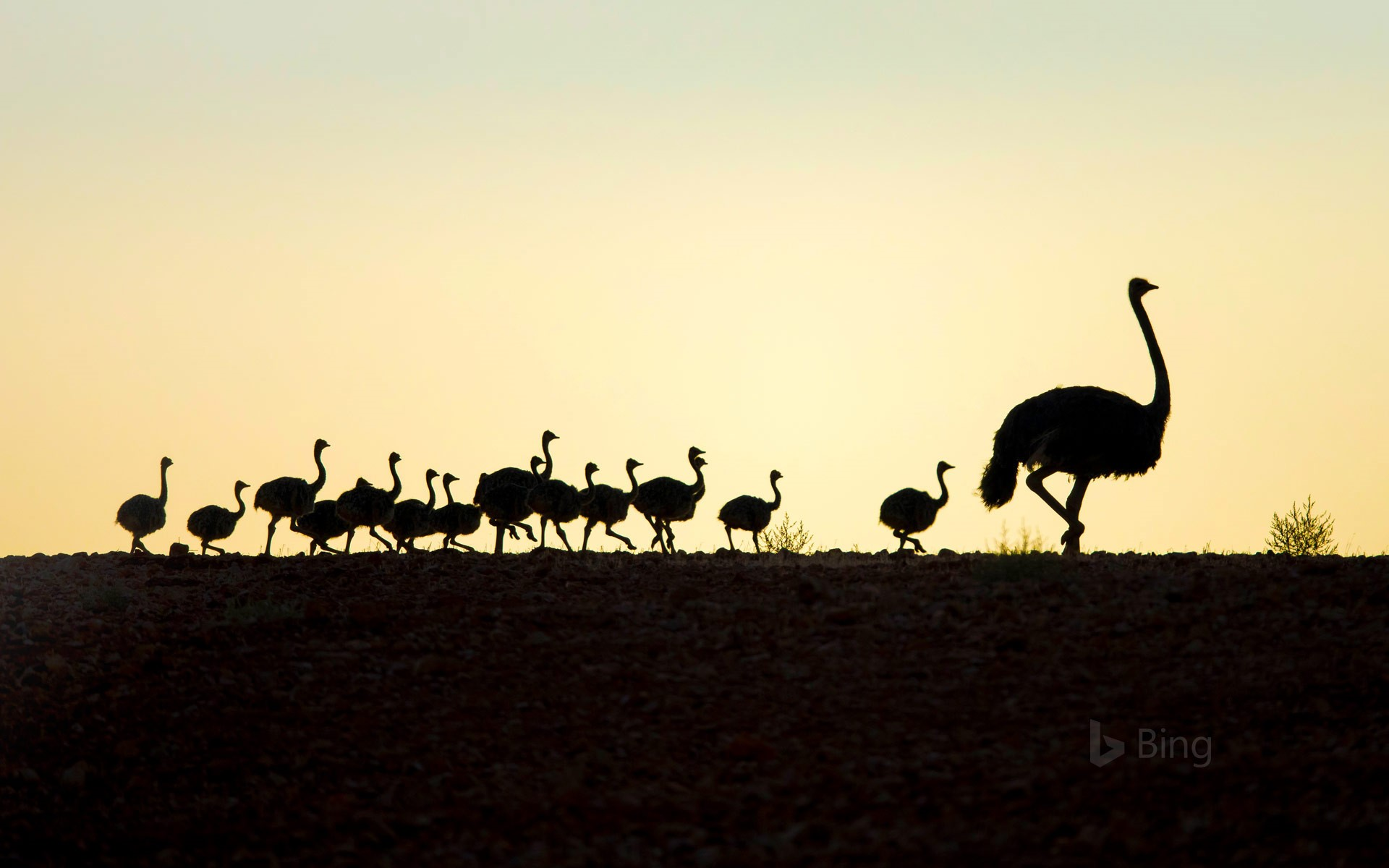 Ostrich with chicks in Western Cape, South Africa
