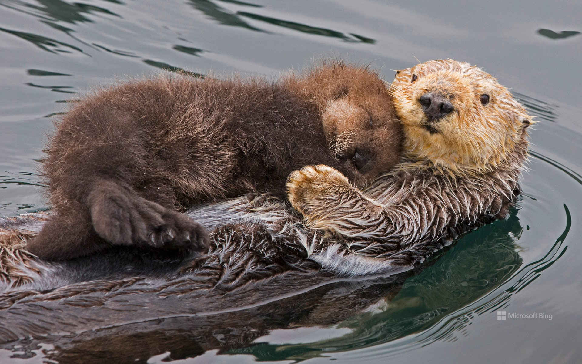 Sea otter mother and pup, Monterey Bay, California, USA