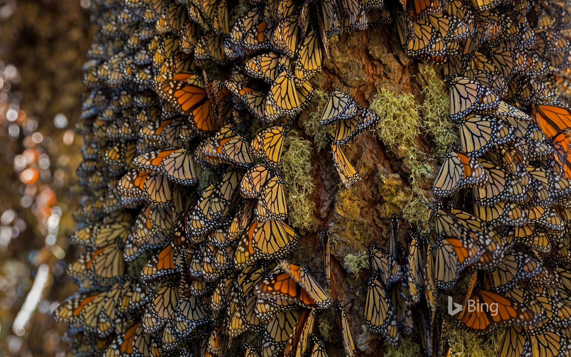 Monarch butterflies wintering in Michoacán, Mexico