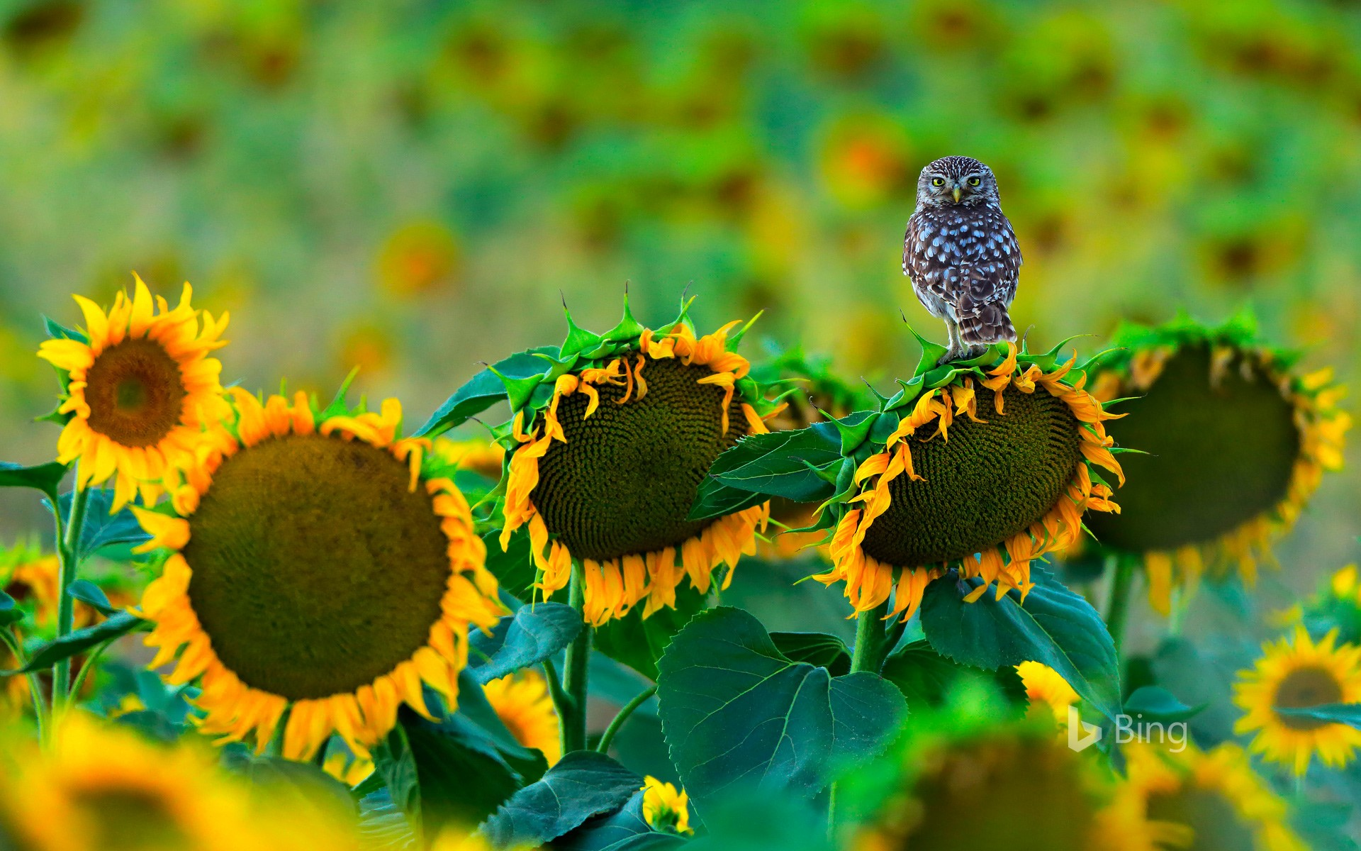 Little owl perched on a sunflower, Cadiz, Andalusia, Spain
