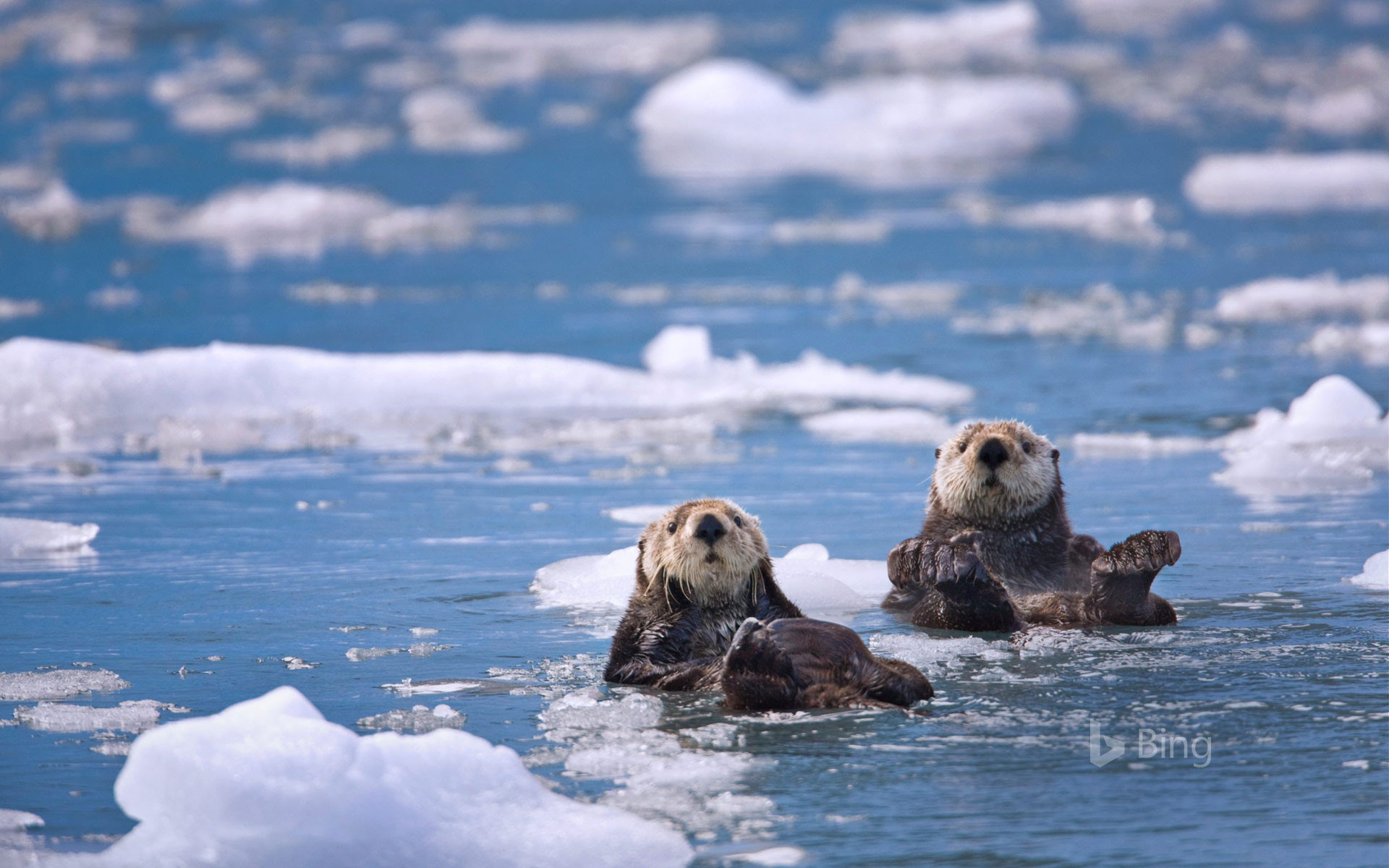 Sea otters in Prince William Sound, Alaska