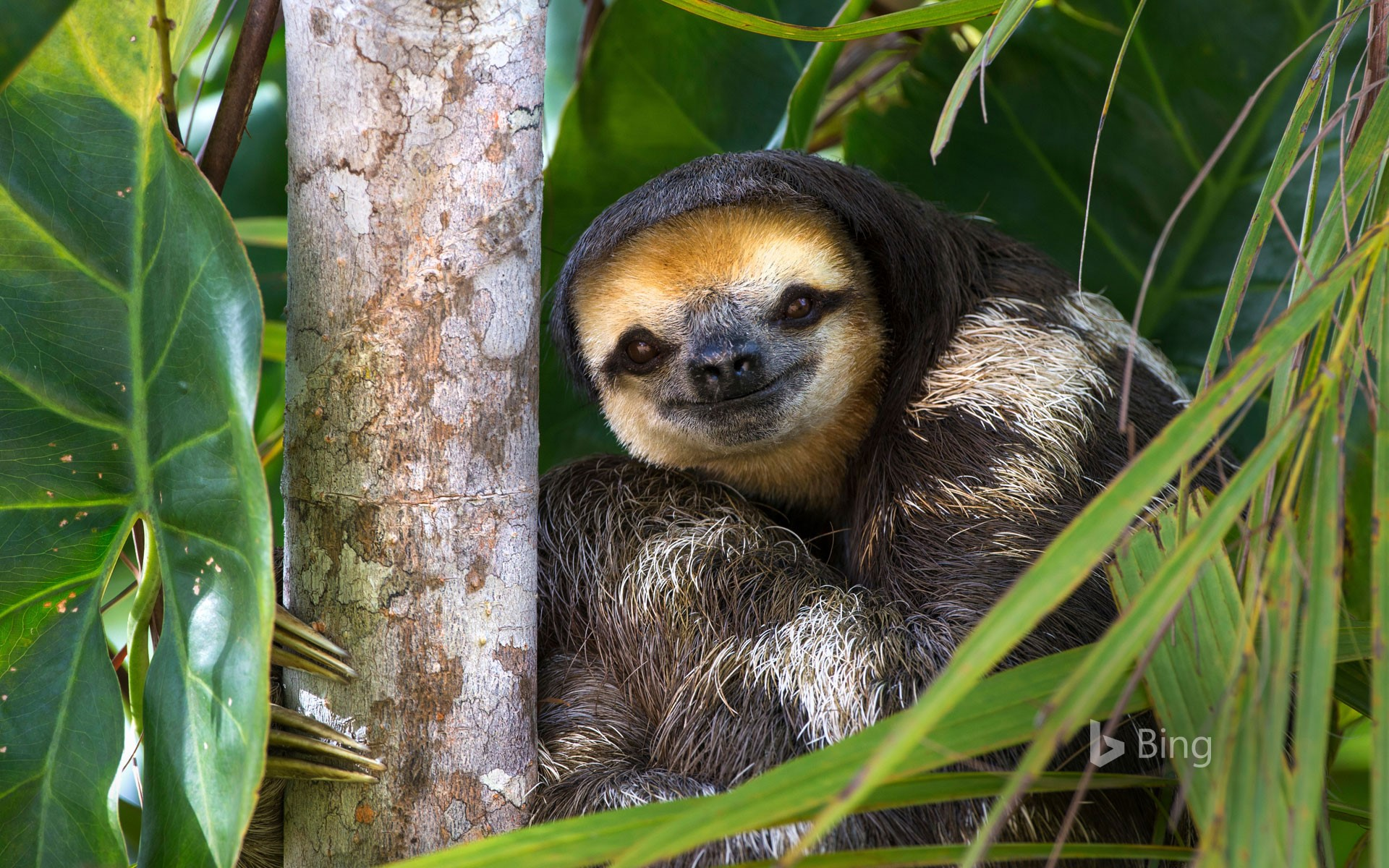 Pale-throated sloth perched in a tree on Sloth Island, Essequibo River, Guyana