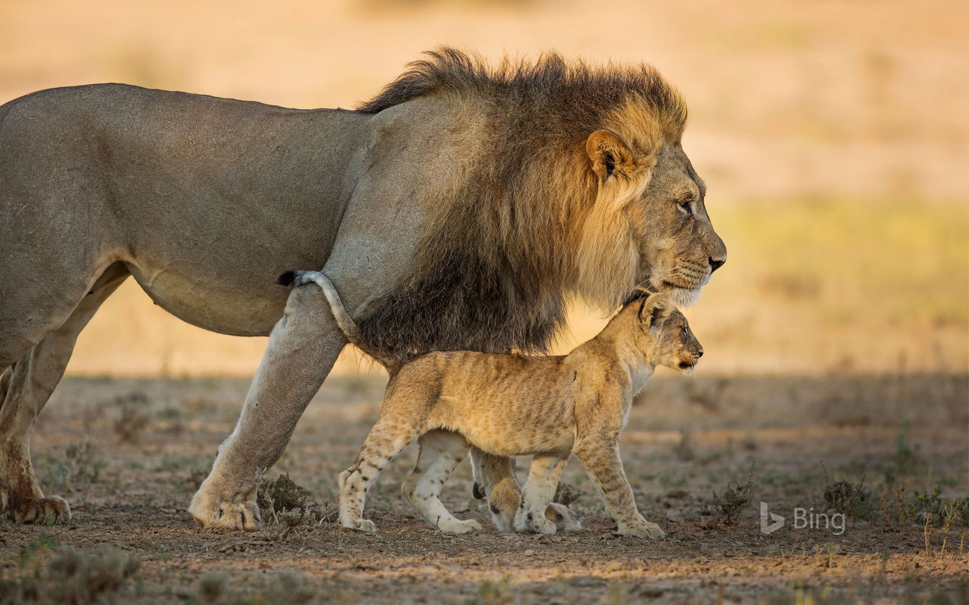 Male African lion and cub in Kgalagadi Transfrontier Park in southern Africa