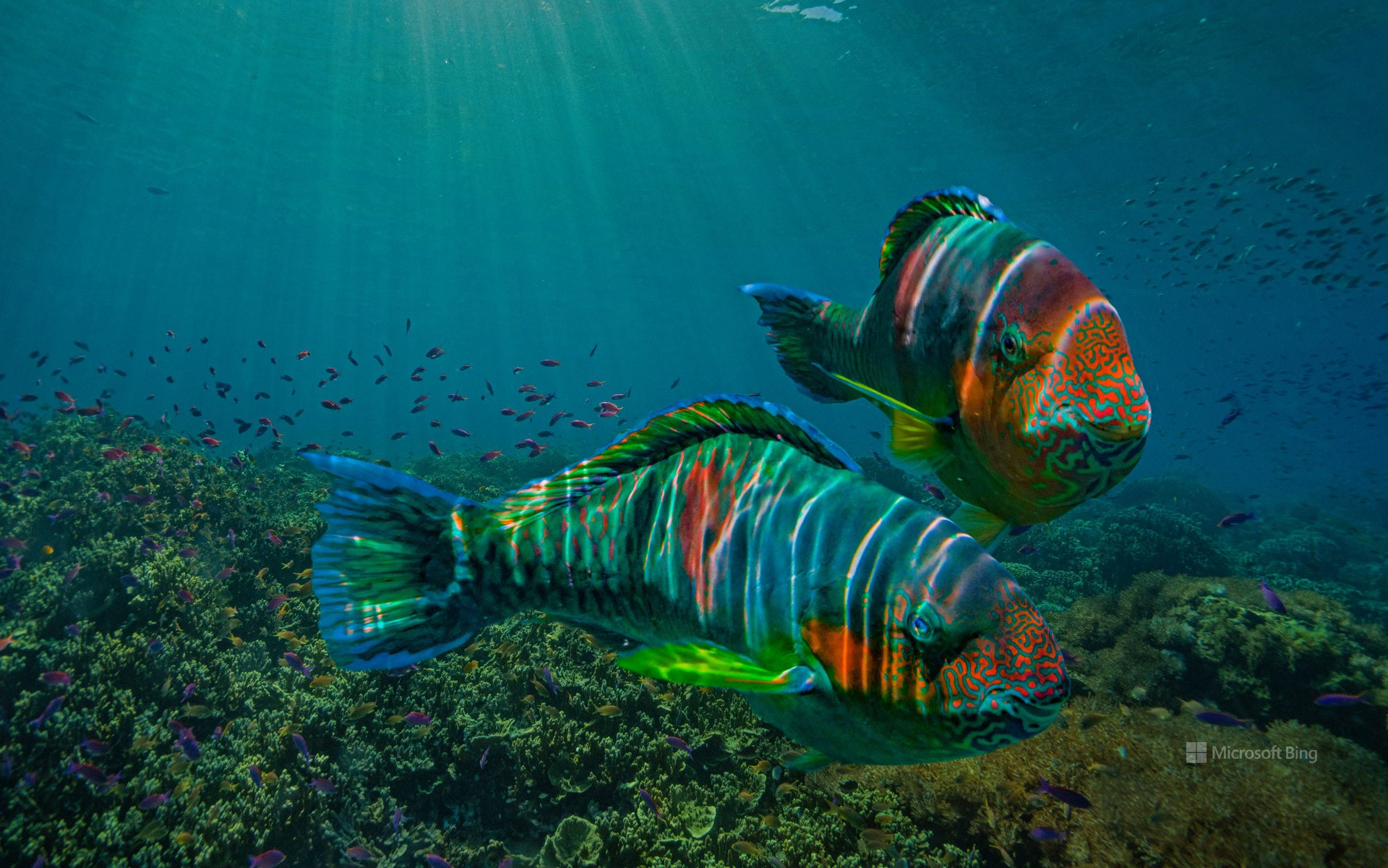 Parrotfish off the coast of Negros Oriental province, Philippines