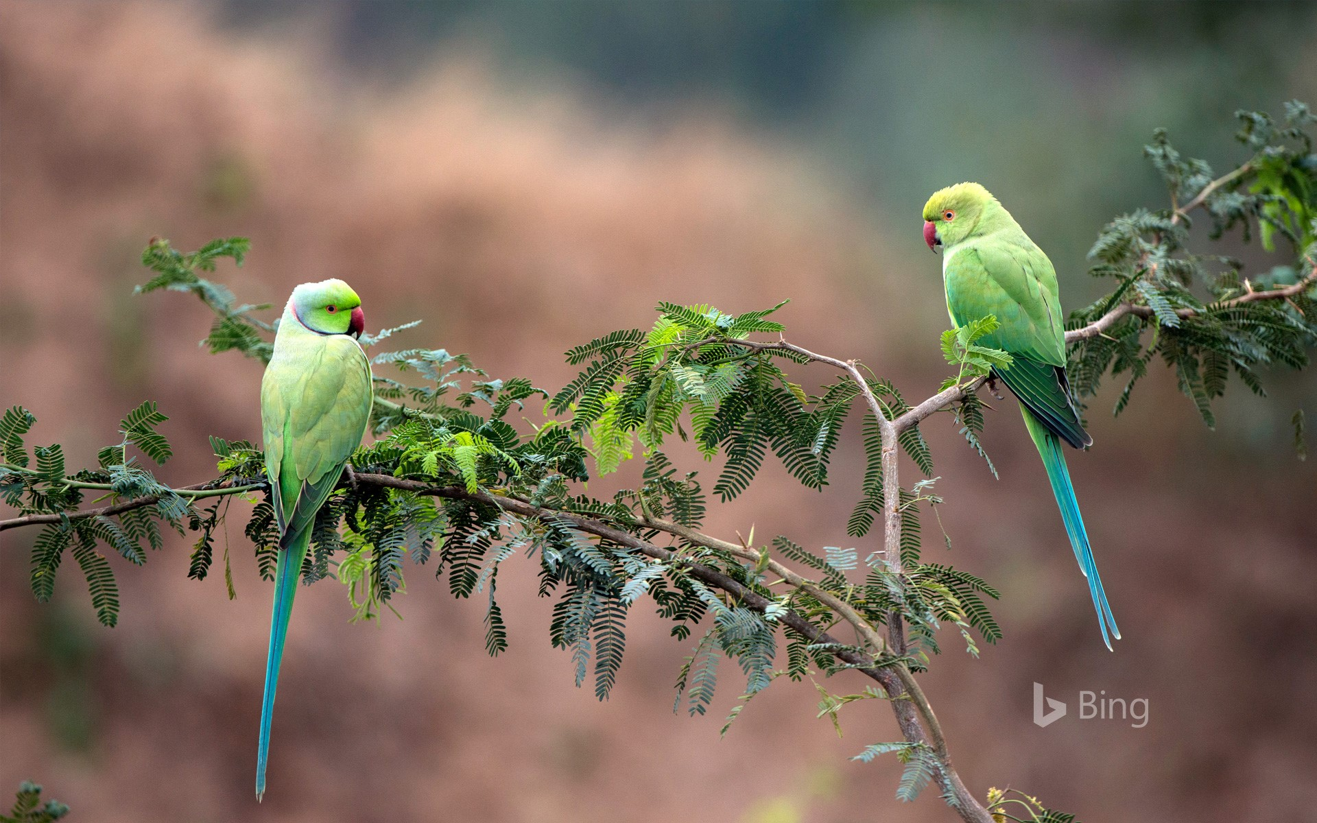 Rose-ringed parakeets in National Chambal Gharial Wildlife Sanctuary, Madhya Pradesh, India