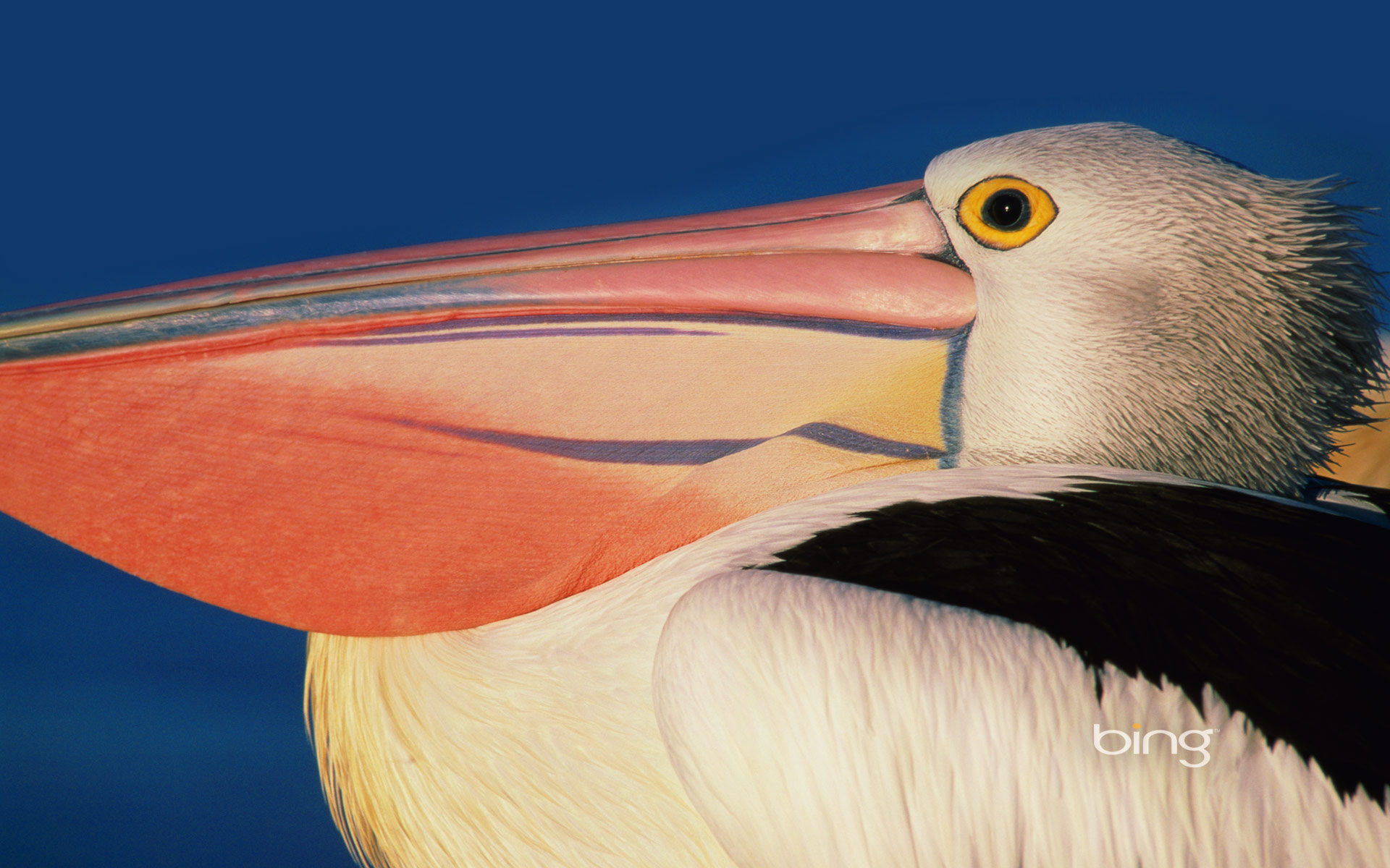 Profile of an Australian pelican